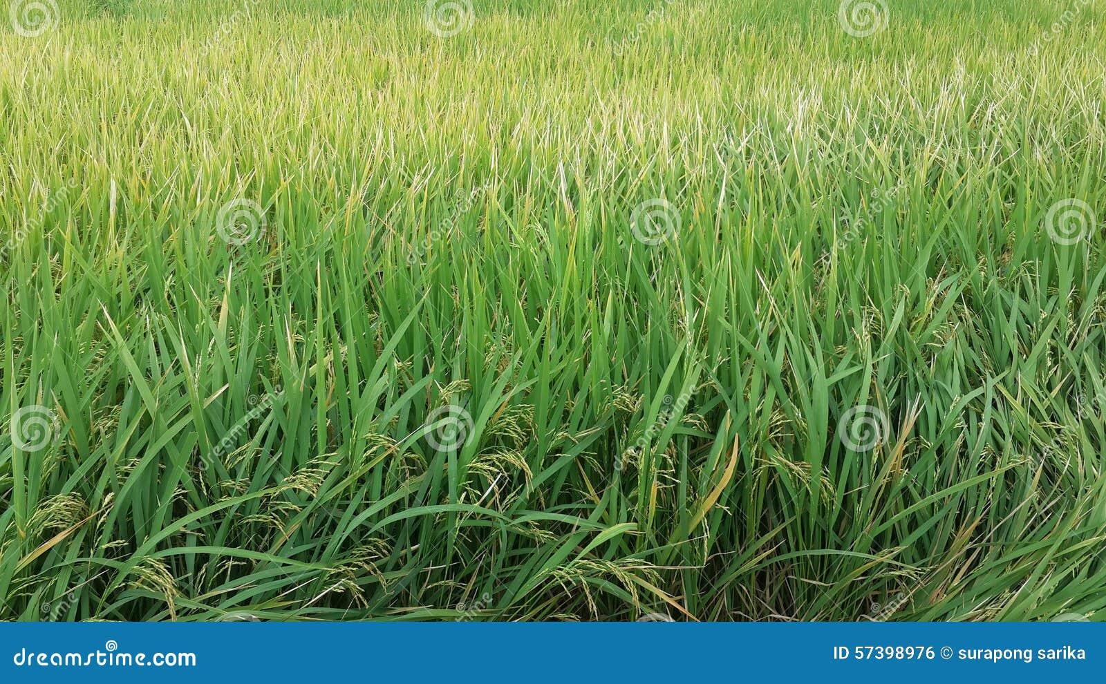 Groen padieveld, rijstlandbouwbedrijf
