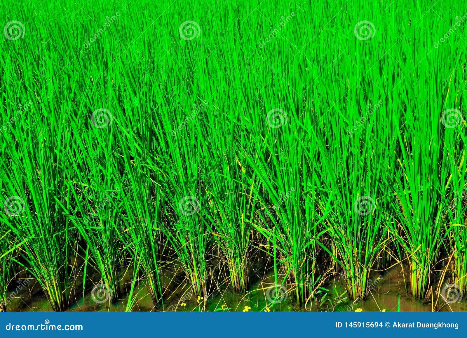 Groen padieveld