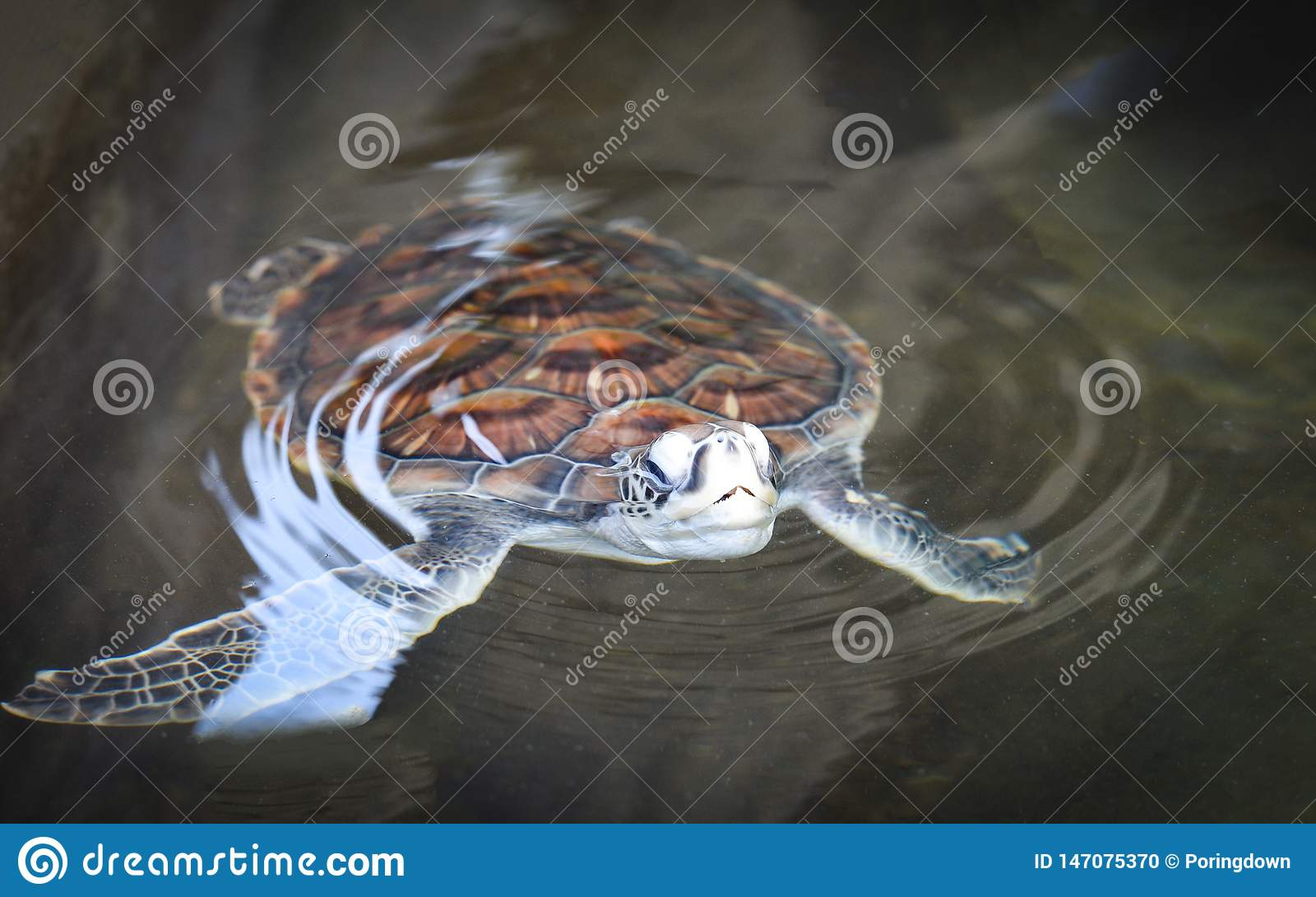 Groen schildpadlandbouwbedrijf en weinig het zwemmen op watervijver - hawksbill zeeschildpad