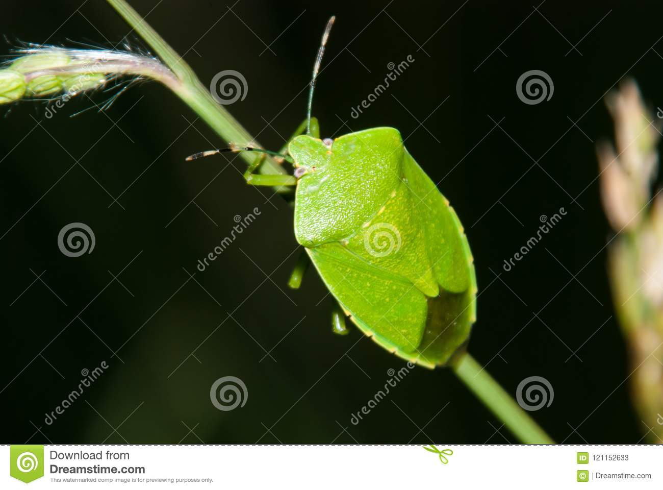 Groen stink Insect