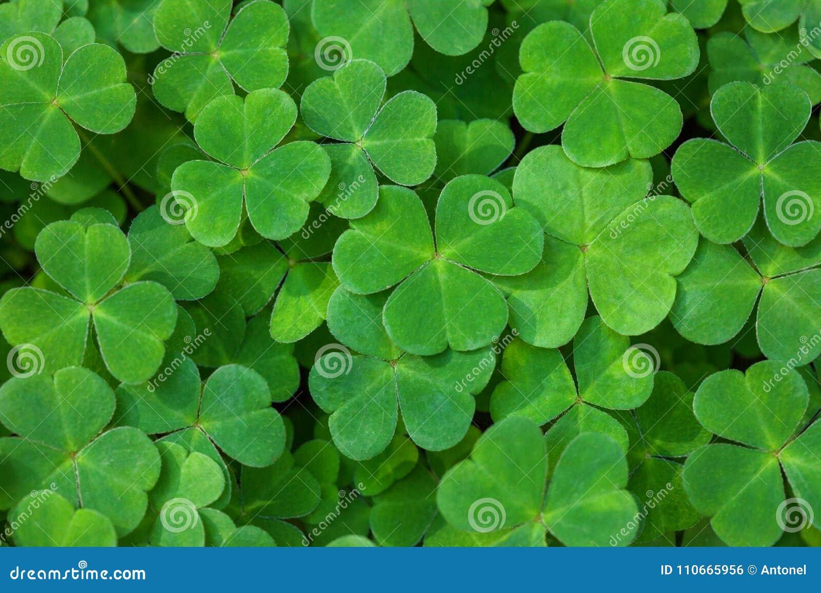 Groene achtergrond met three-leaved klavers St Patrick ` s het symbool van de dagvakantie Ondiepe DOF Selectieve nadruk