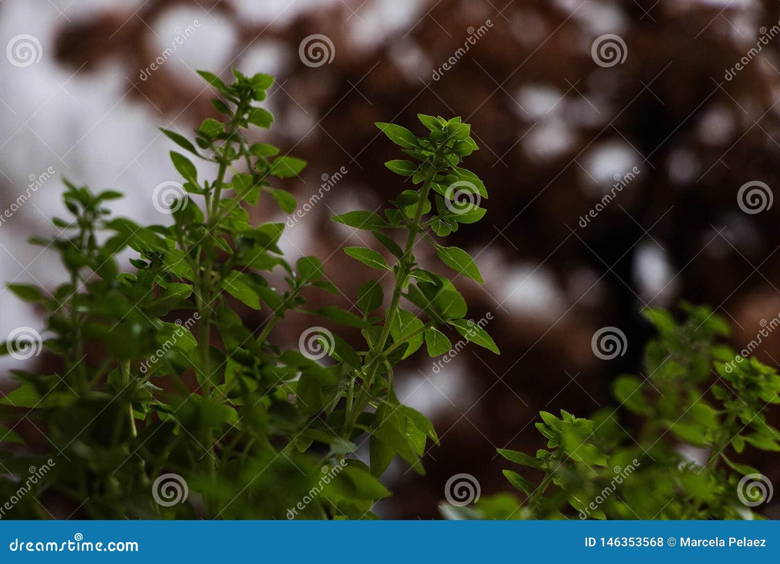 Groene basilicuminstallatie met uit nadruk bruine achtergrond kleine het groeien bladeren