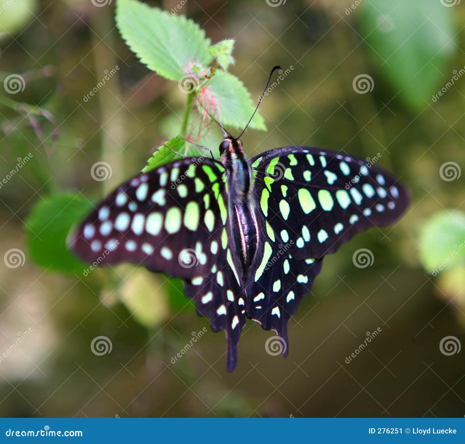 Groene Bevlekte Vlinder