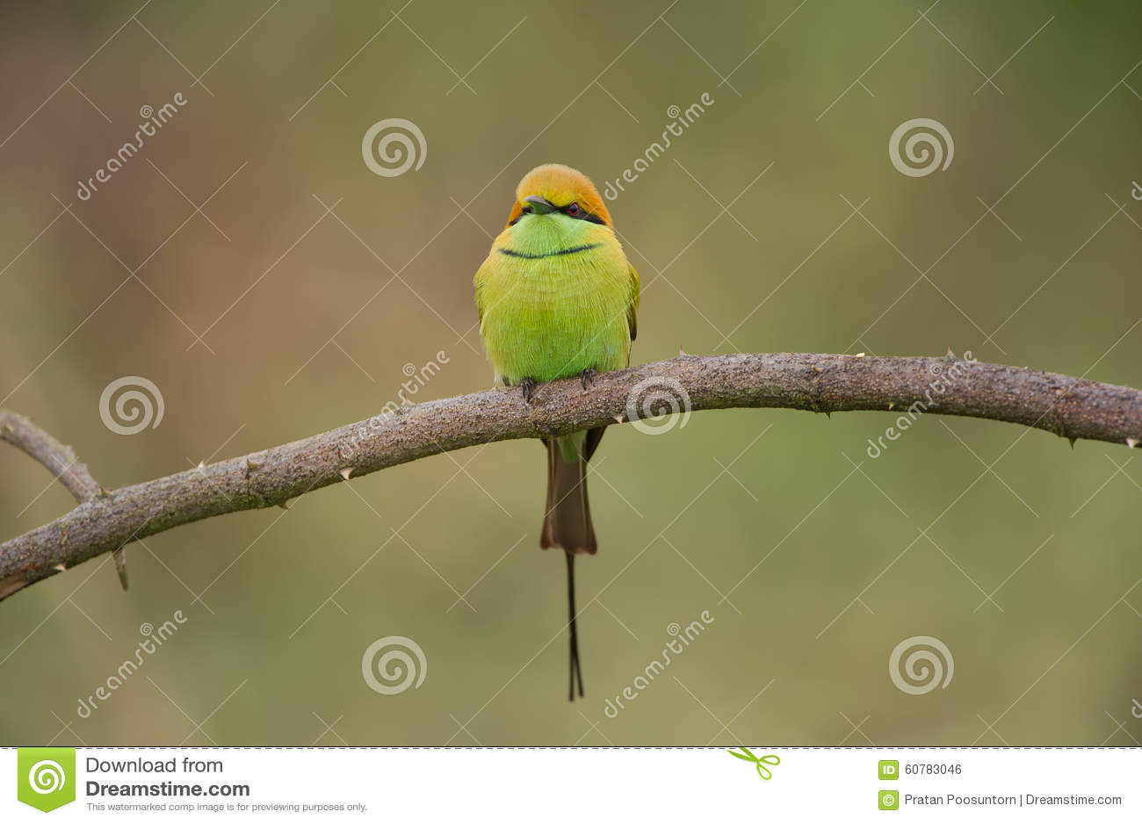 Groene bij-Eter