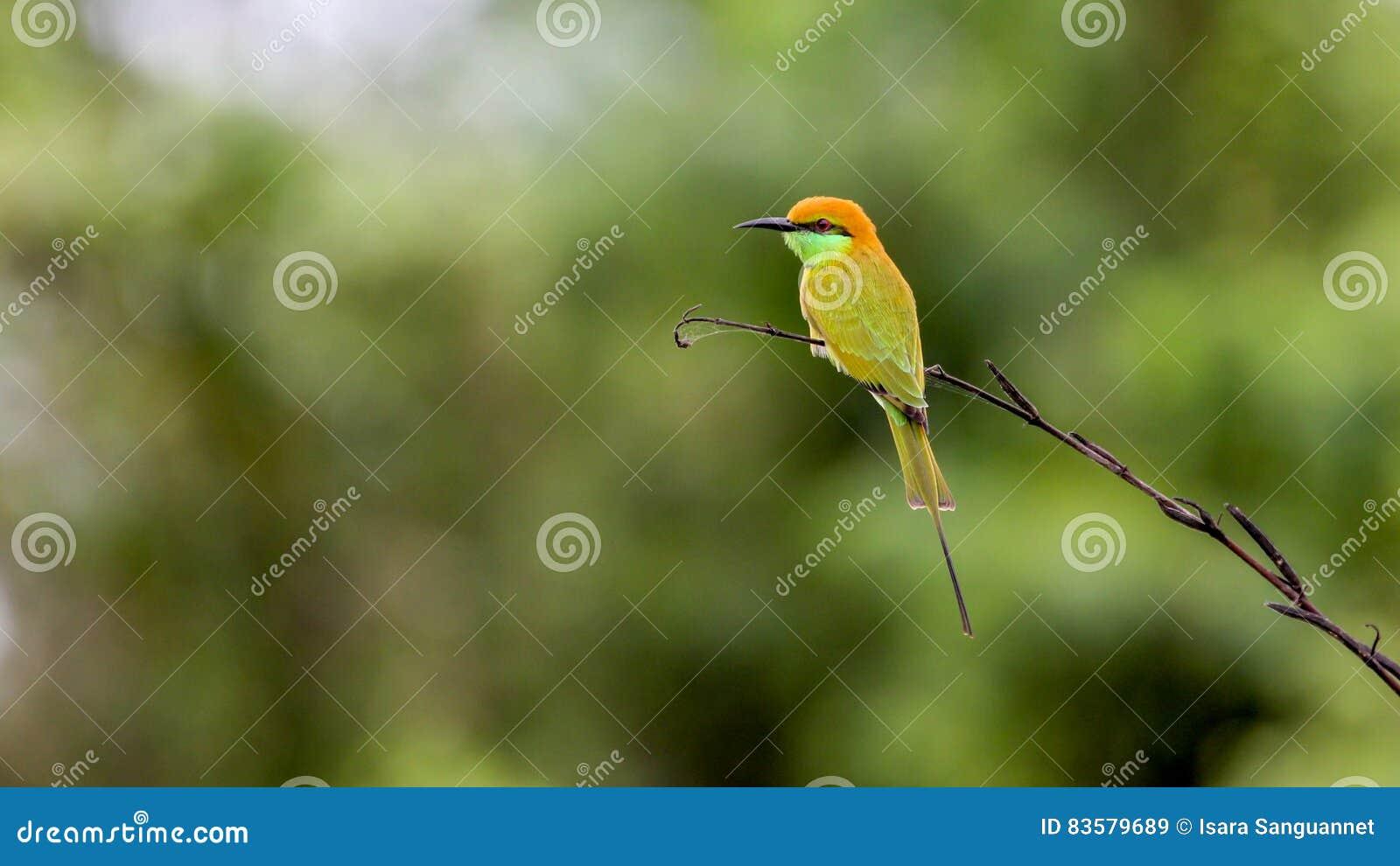 Groene bij-Eter Merops-orientalis