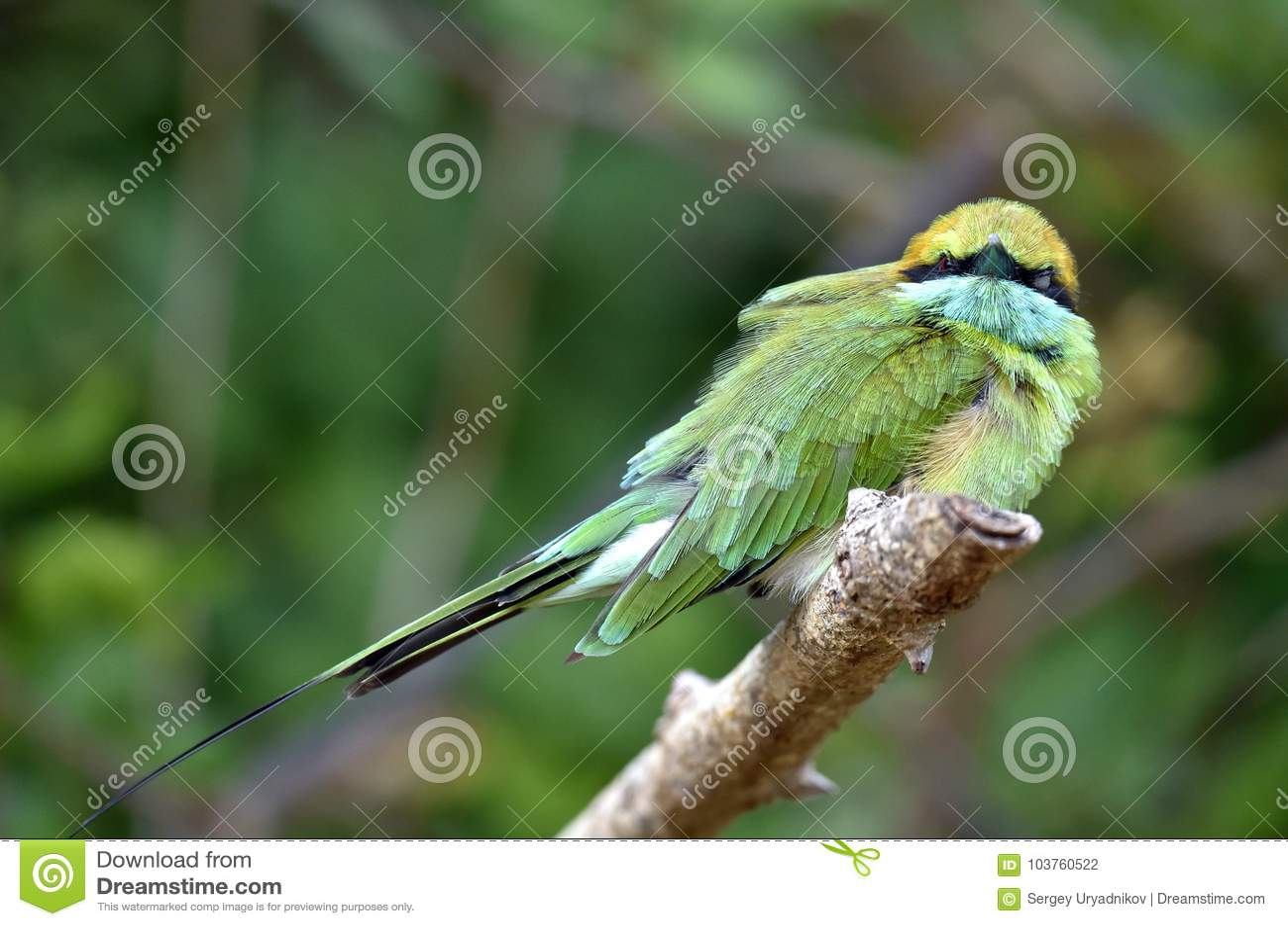 Groene bij-eter Merops-orientalis op de tak
