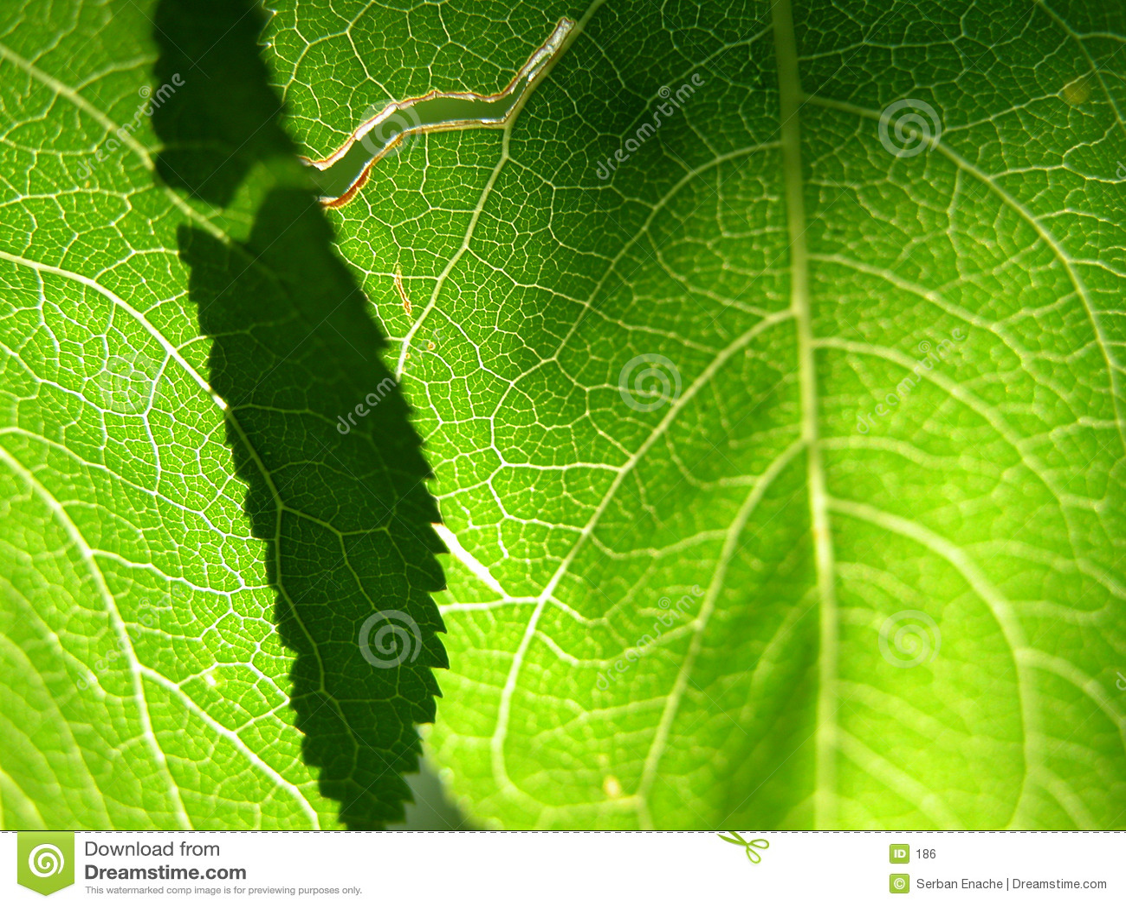 Groene bladclose-up 1