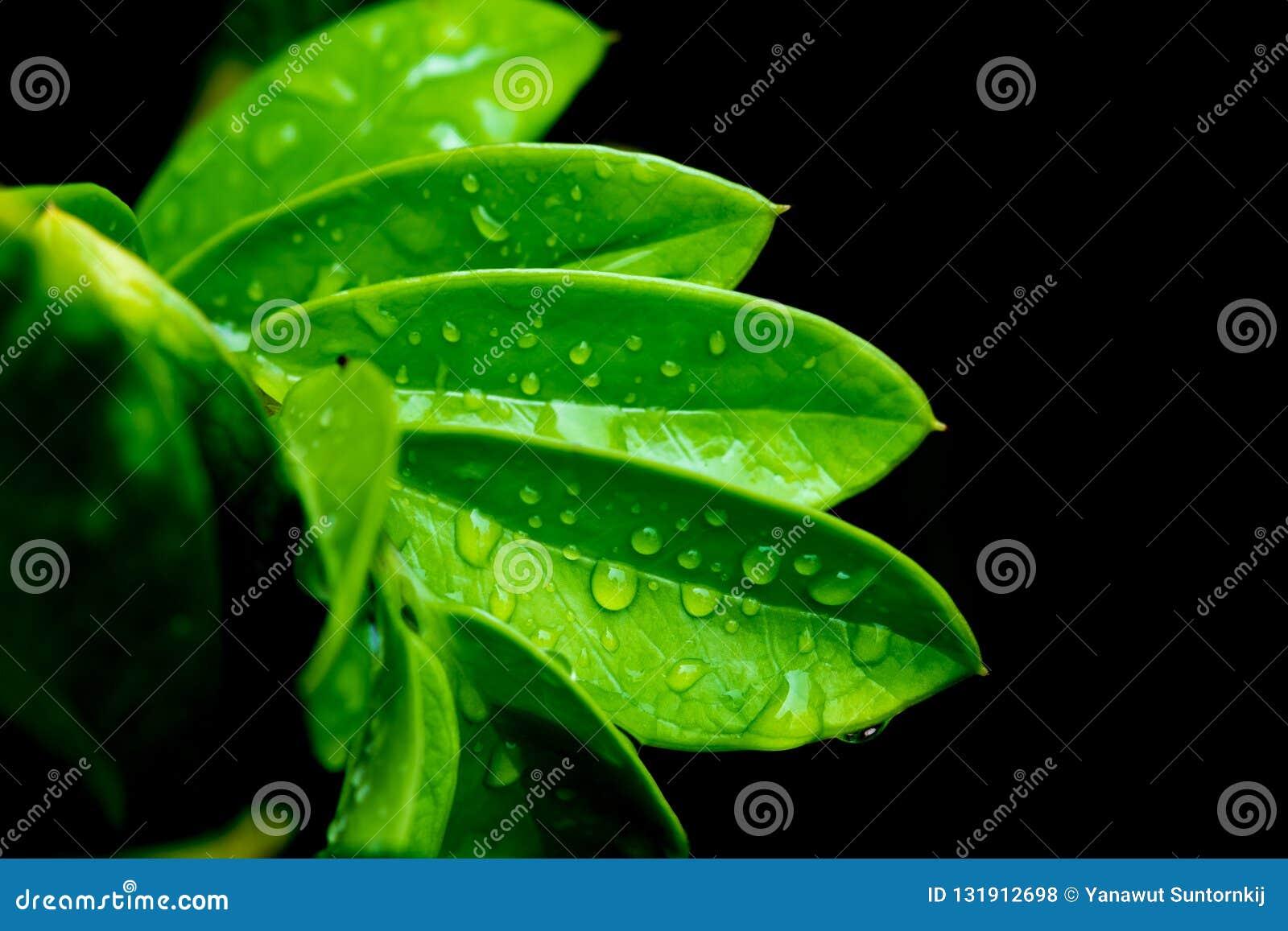 Groene bladeren met waterdaling op zwarte achtergrond