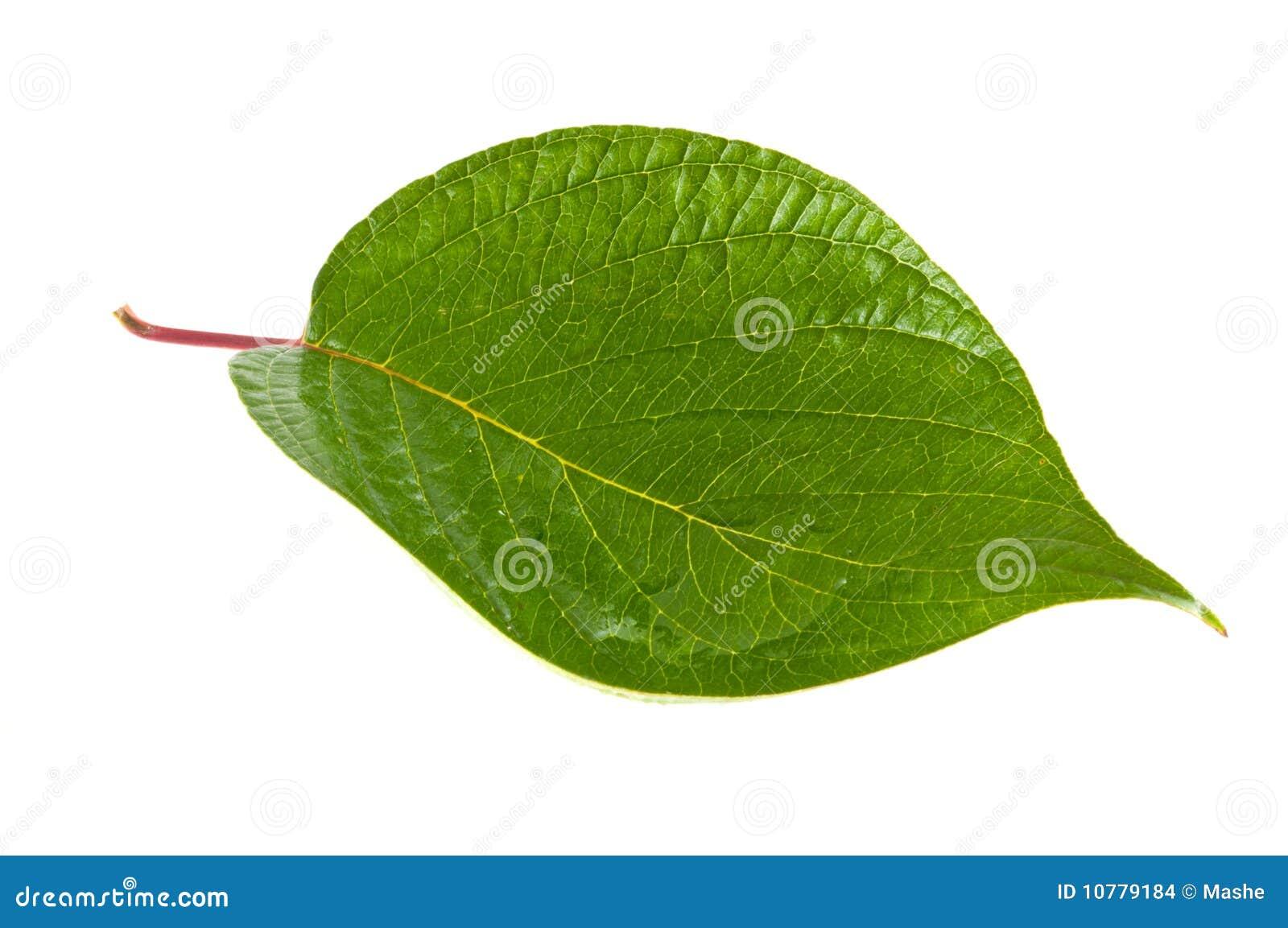 Groene bladeren tegen witte achtergrond