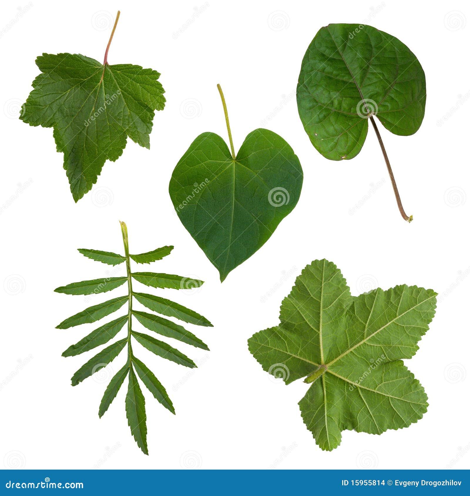 Groene bladeren van bomen en struiken stock afbeeldingen - Plantas de hojas verdes ...