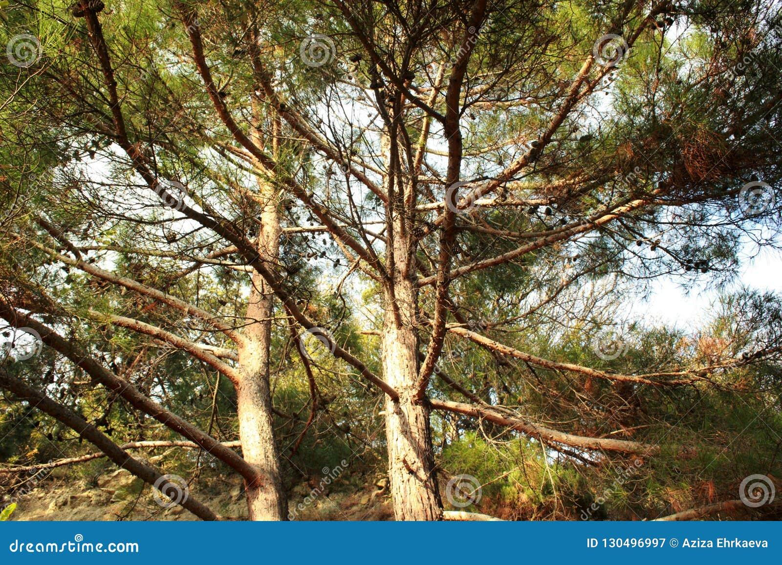 Groene bomen, naaldbomen, zeldzame installaties, pijnboom, aard van de Krim