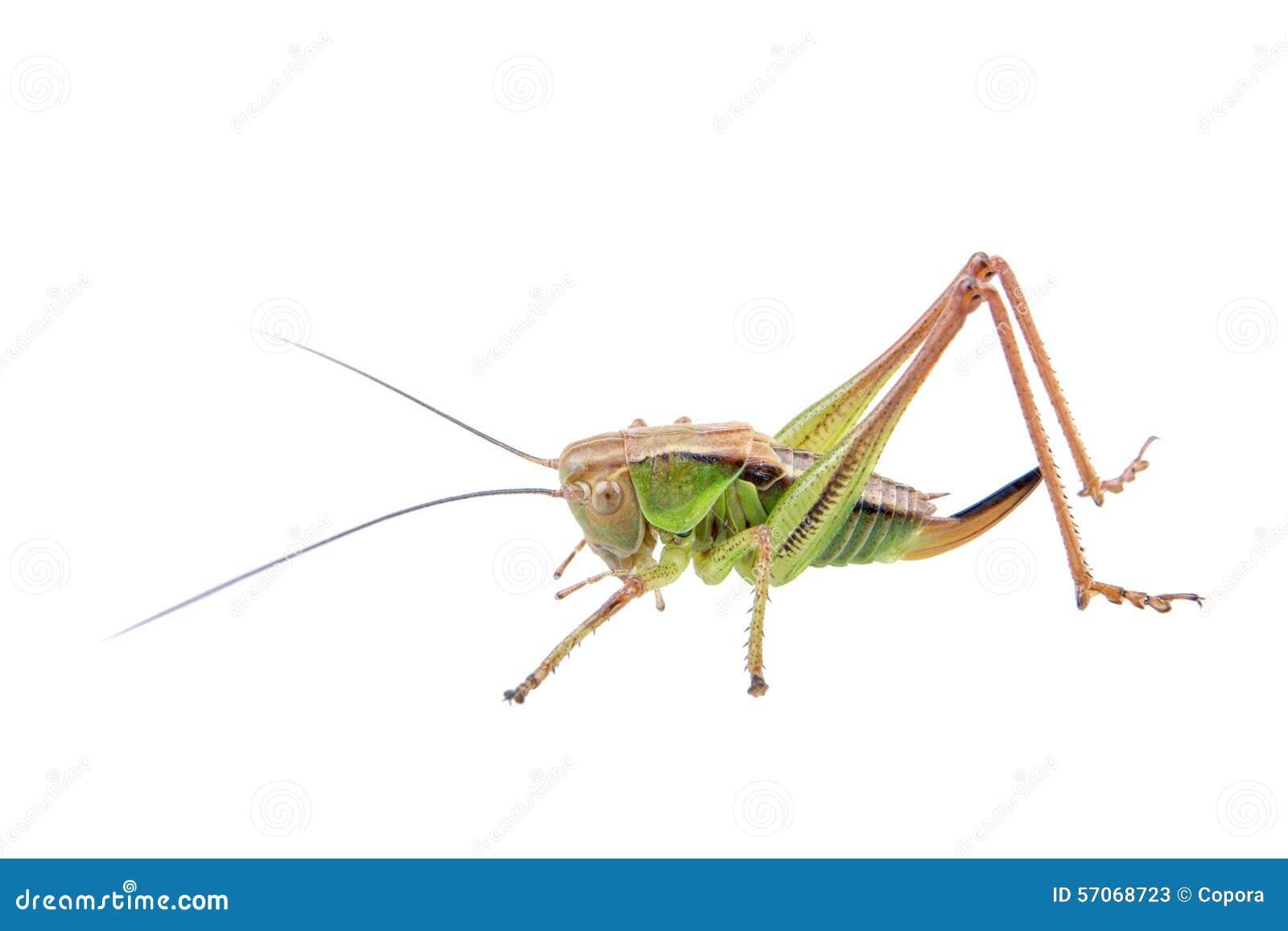 Groene bruine sprinkhaan op een witte achtergrond
