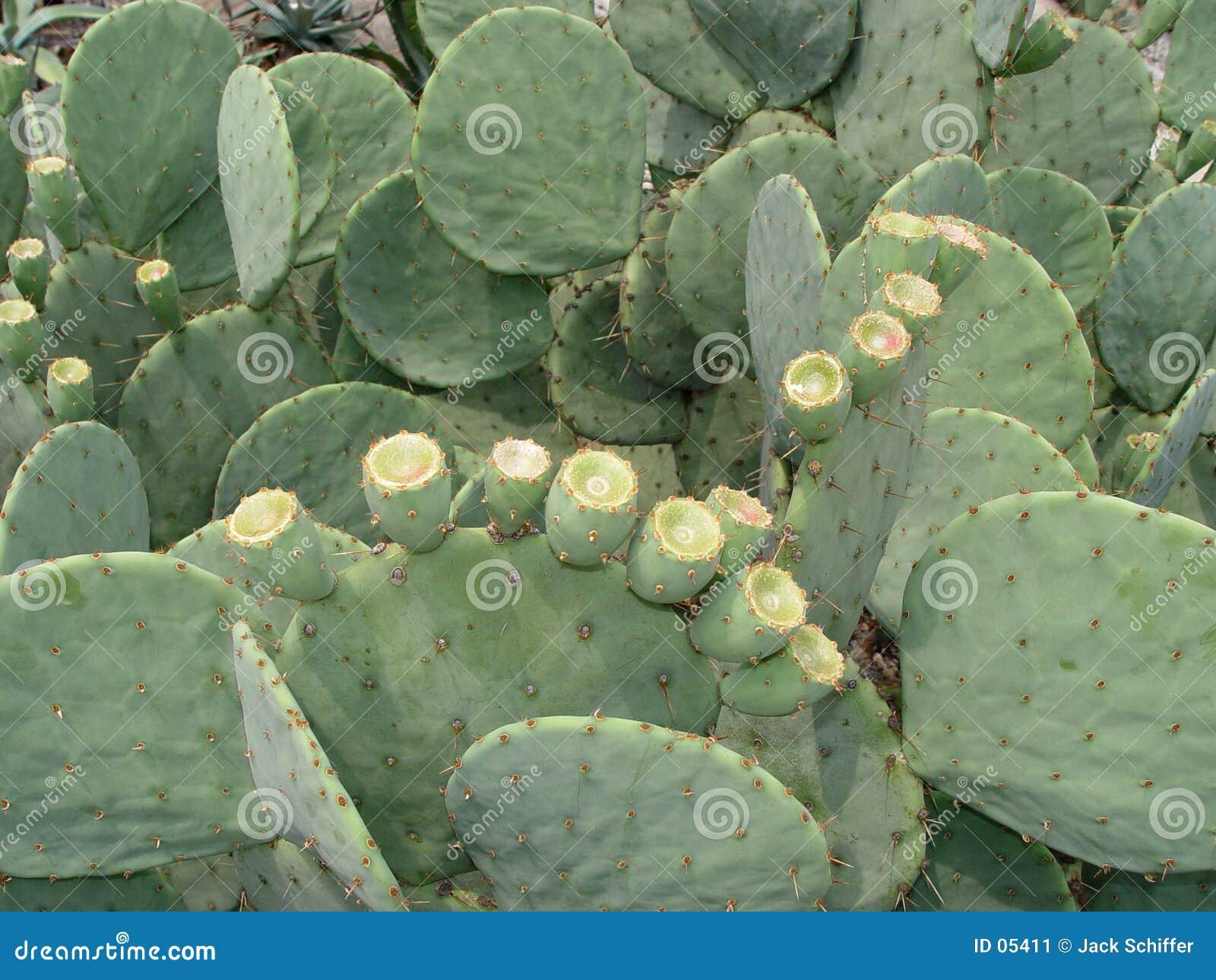 Groene Cactus