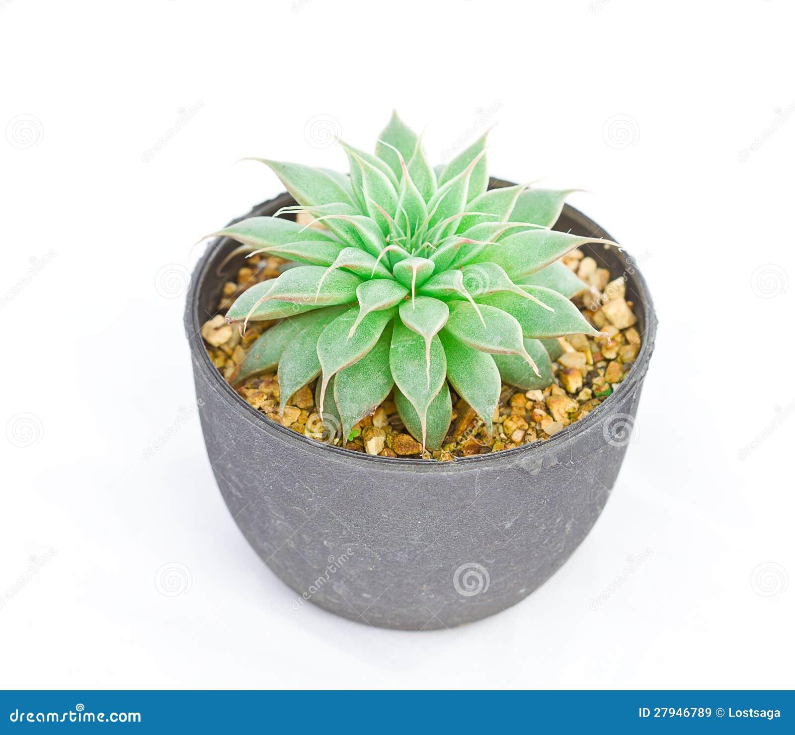 Groene cactus op wit