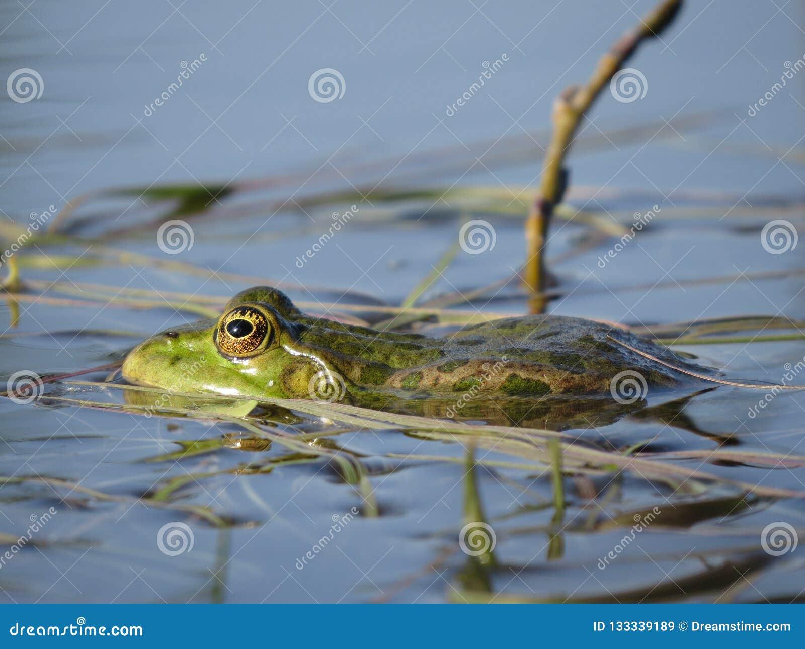 Groene die kikker gedeeltelijk in water, op de achtergrond van algen wordt ondergedompeld
