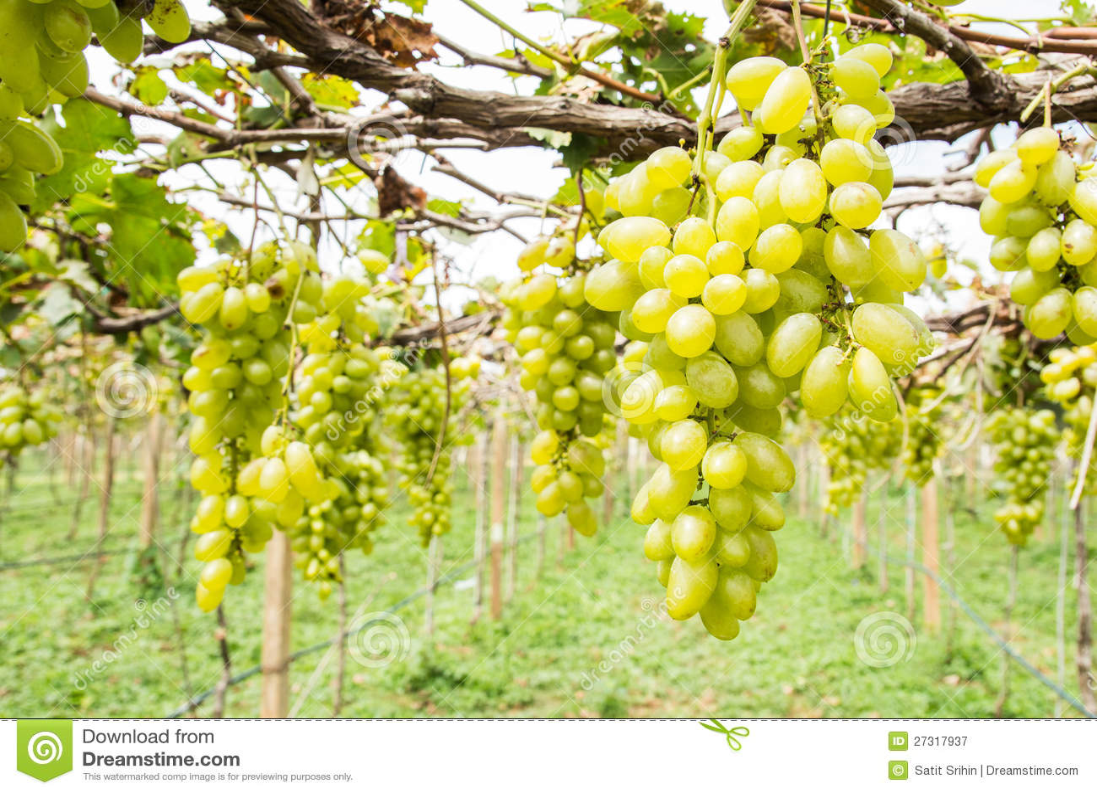 Groene druif op wijnstok
