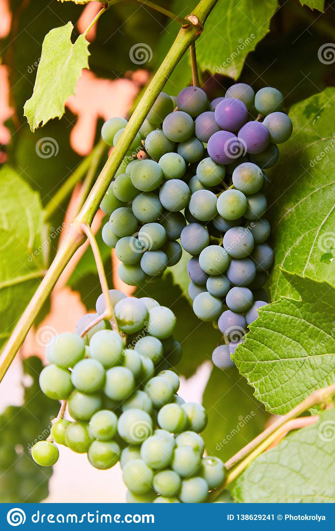 Groene druiven op een tak