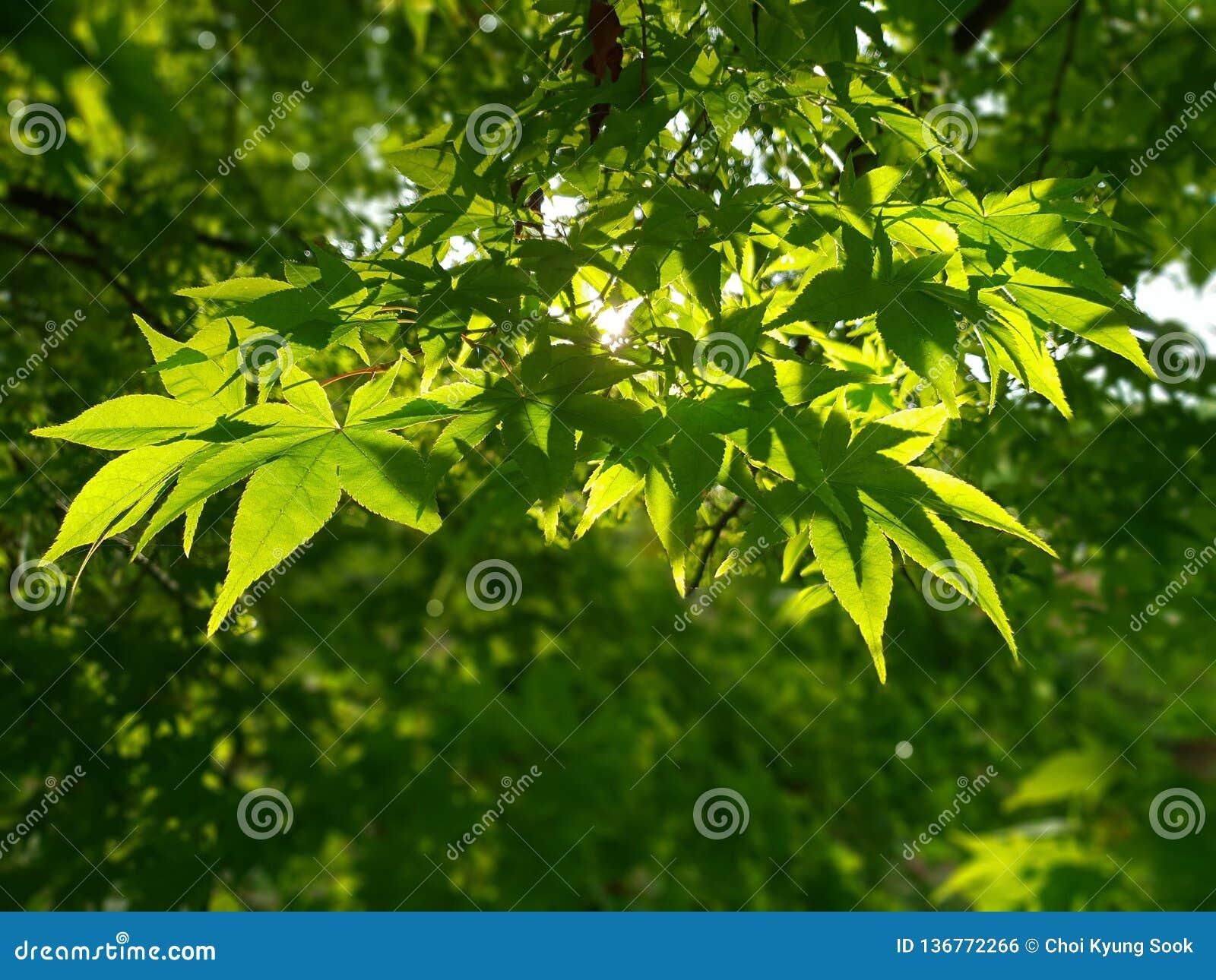 Groene esdoornboom