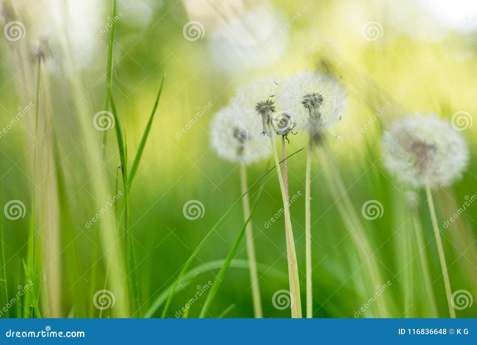 Groene frehweide met mooie fluffydandellions Natuurlijke zachte de zomer of de lenteachtergrond Ondiepe Diepte van Gebied Zachte