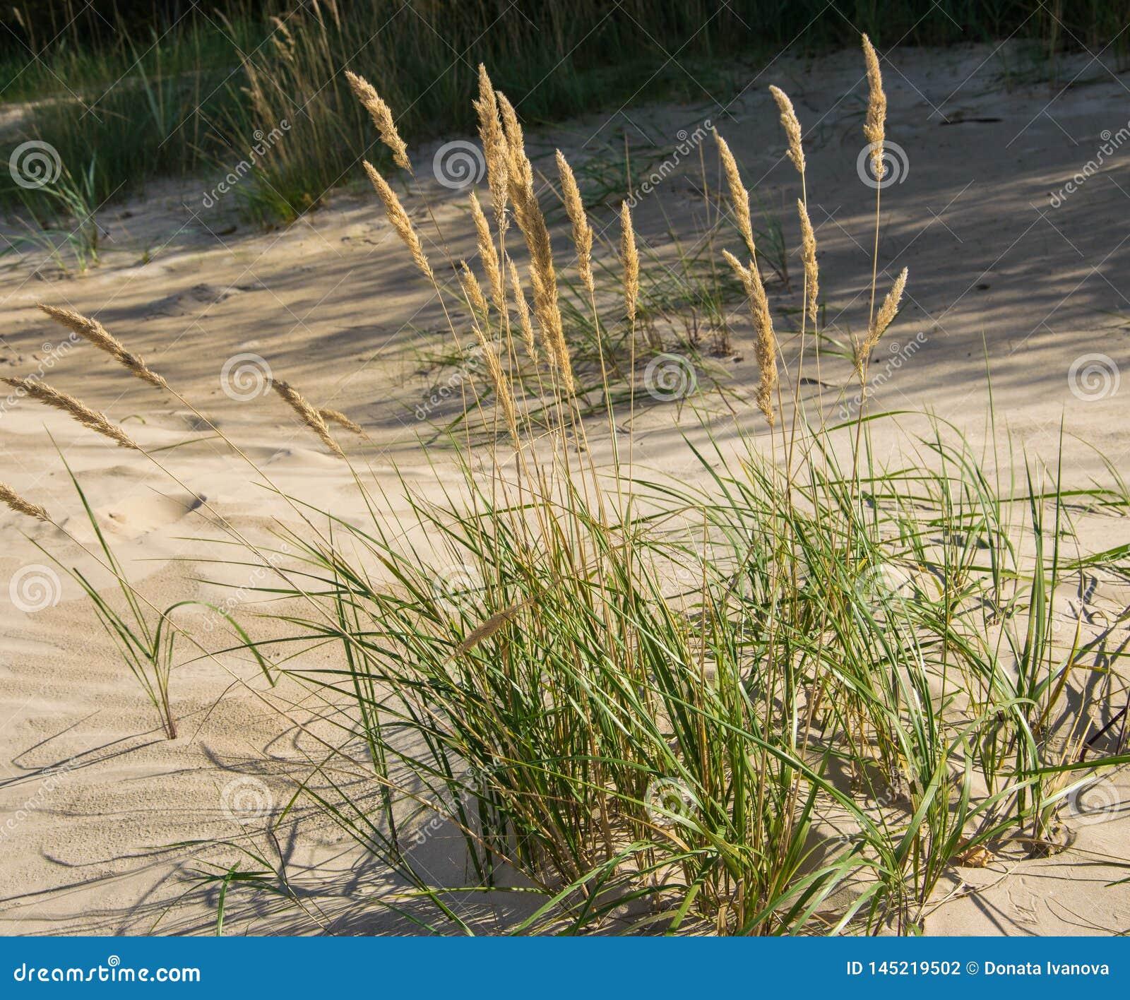 Groene grasinstallaties op het gele zand van de strandclose-ups Groen gras en geel zand