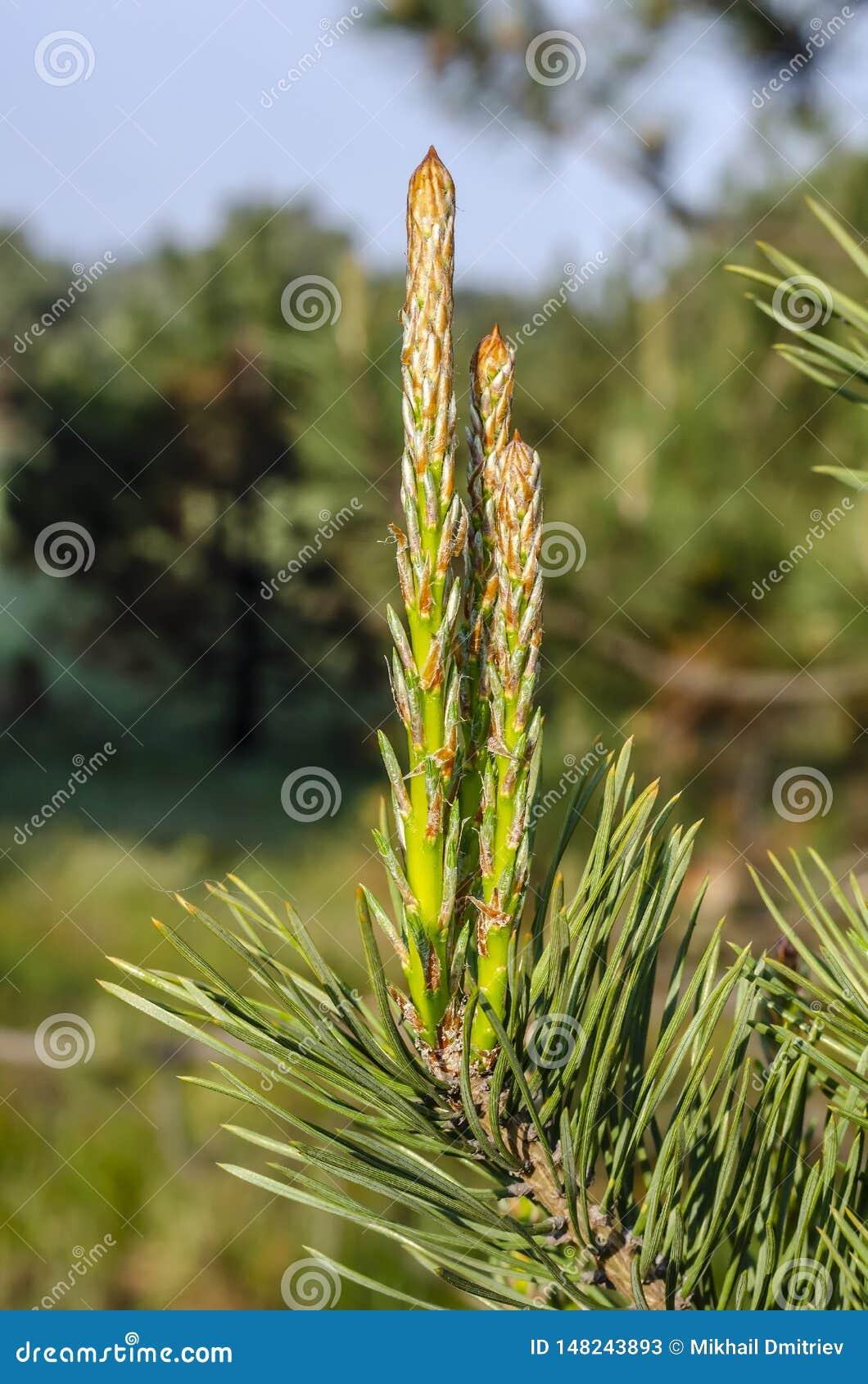 Groene jonge pijnboomtakken in het zonlichtbereik voor de hemel Achtergrond