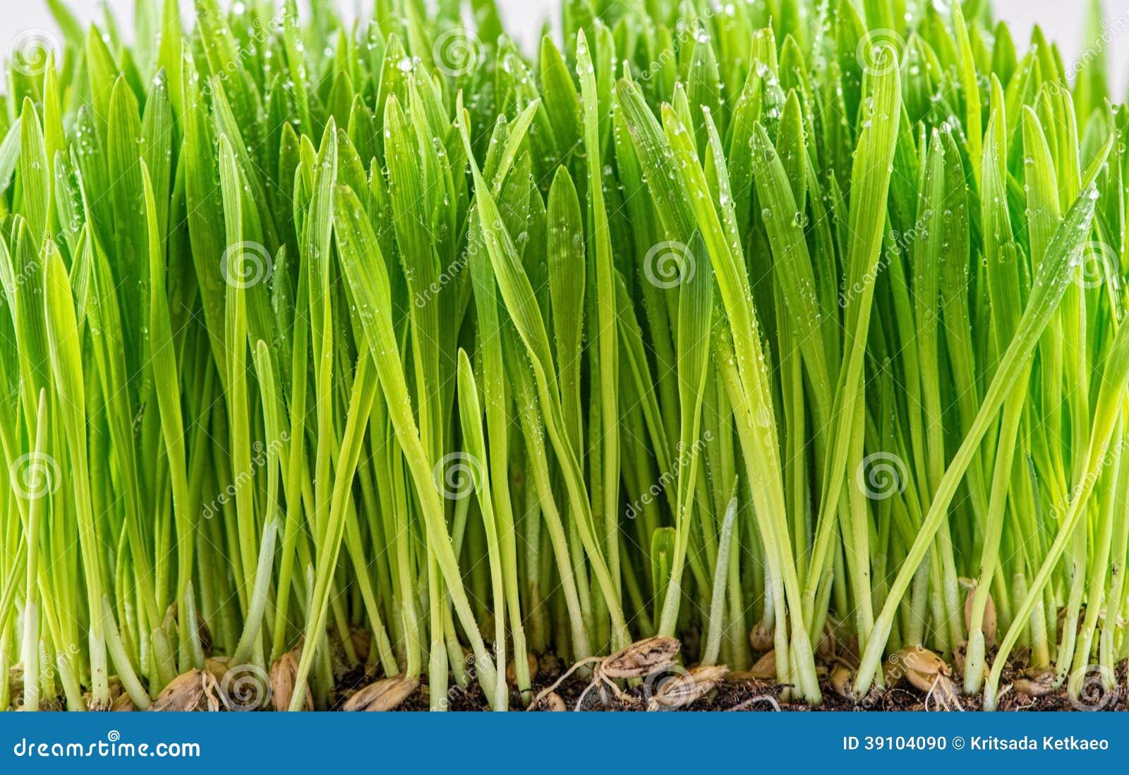 Groene jonge tarwespruit