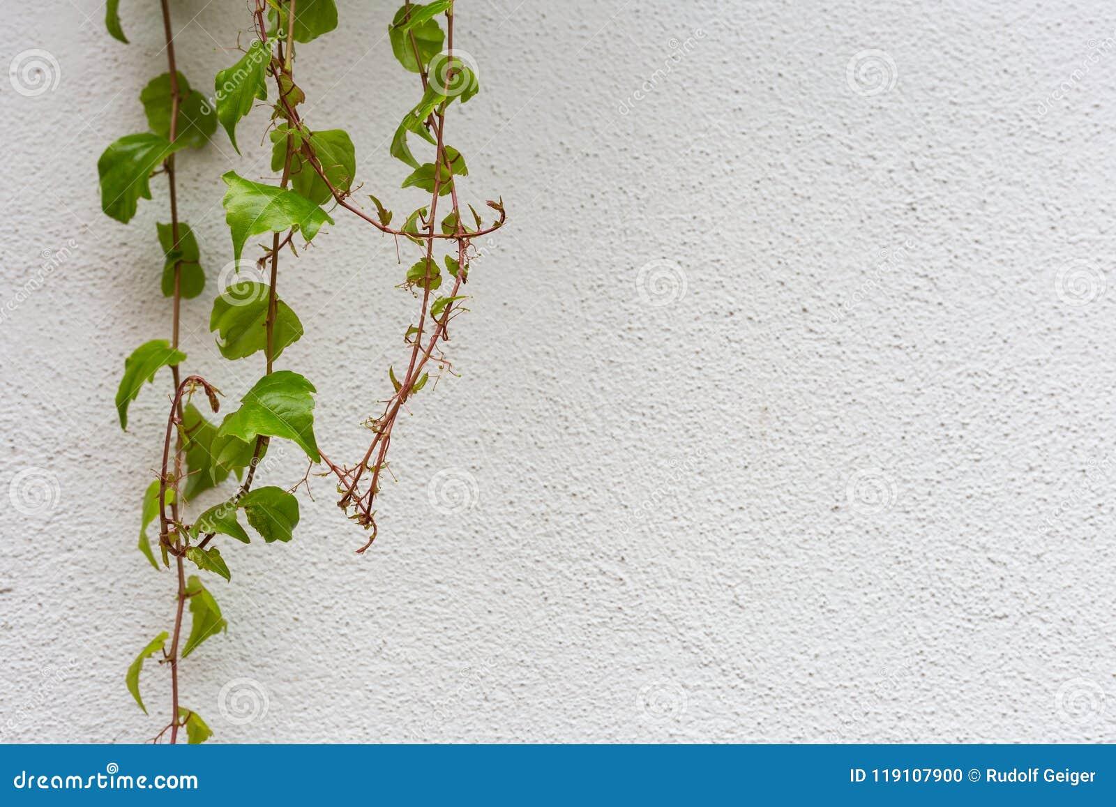 Groene klimop op witte muur