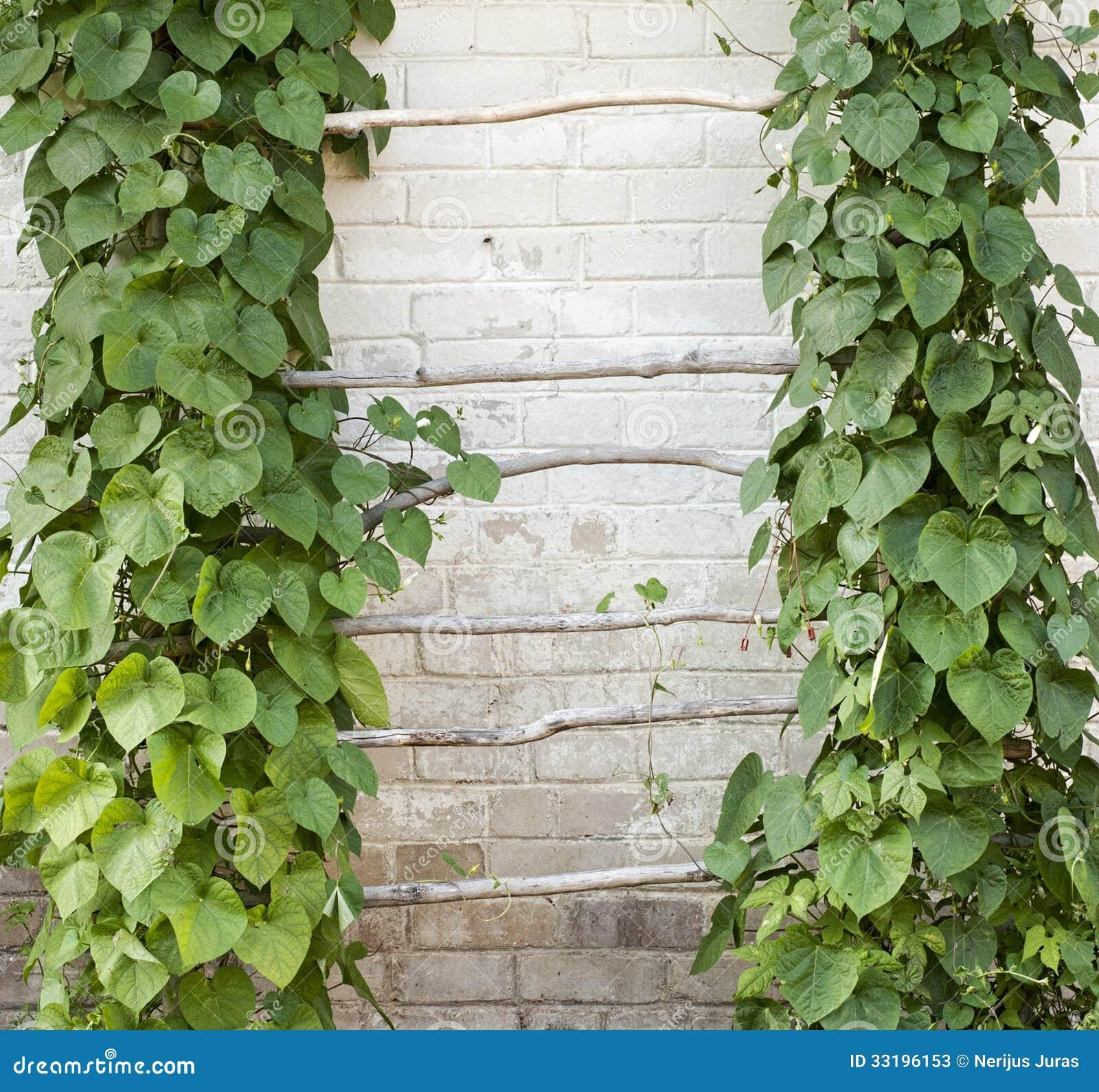 Groene klimplant