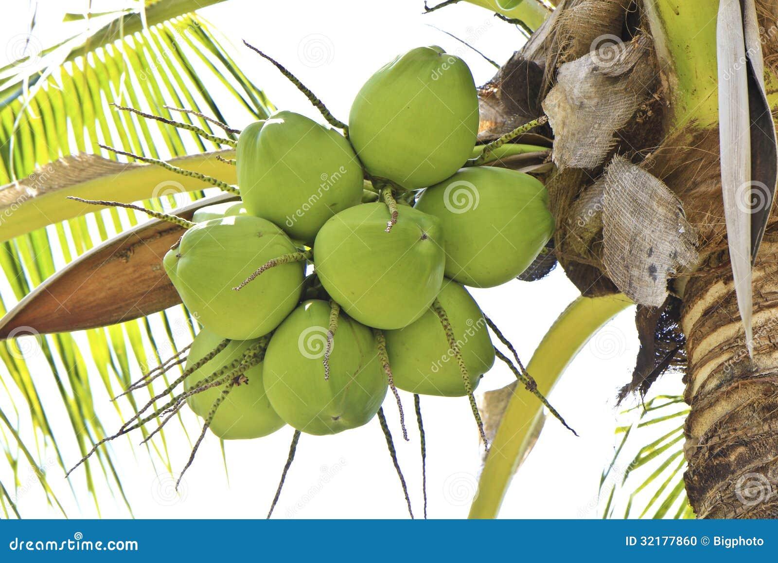 Groene kokosnoot bij boom