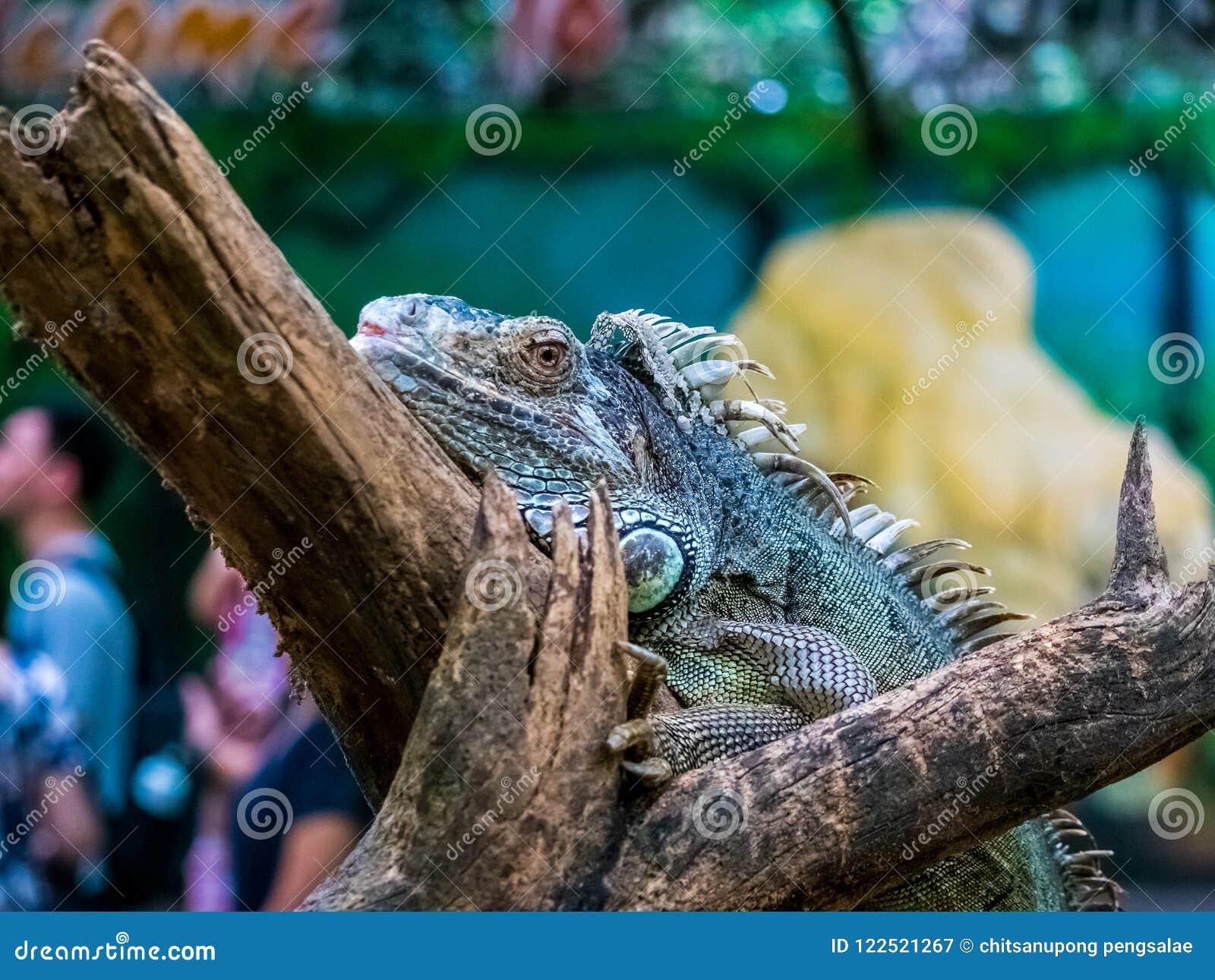 Groene Leguaanclose-up op tak mooi dier