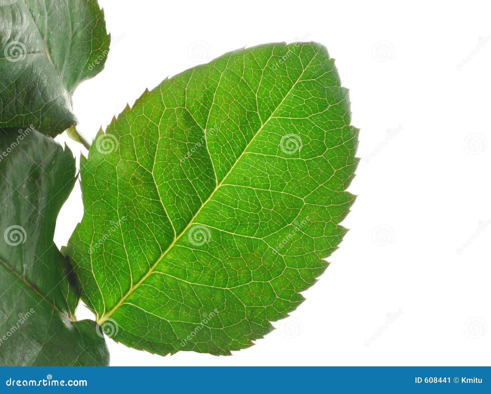 Groene levendige bladdetails op wit