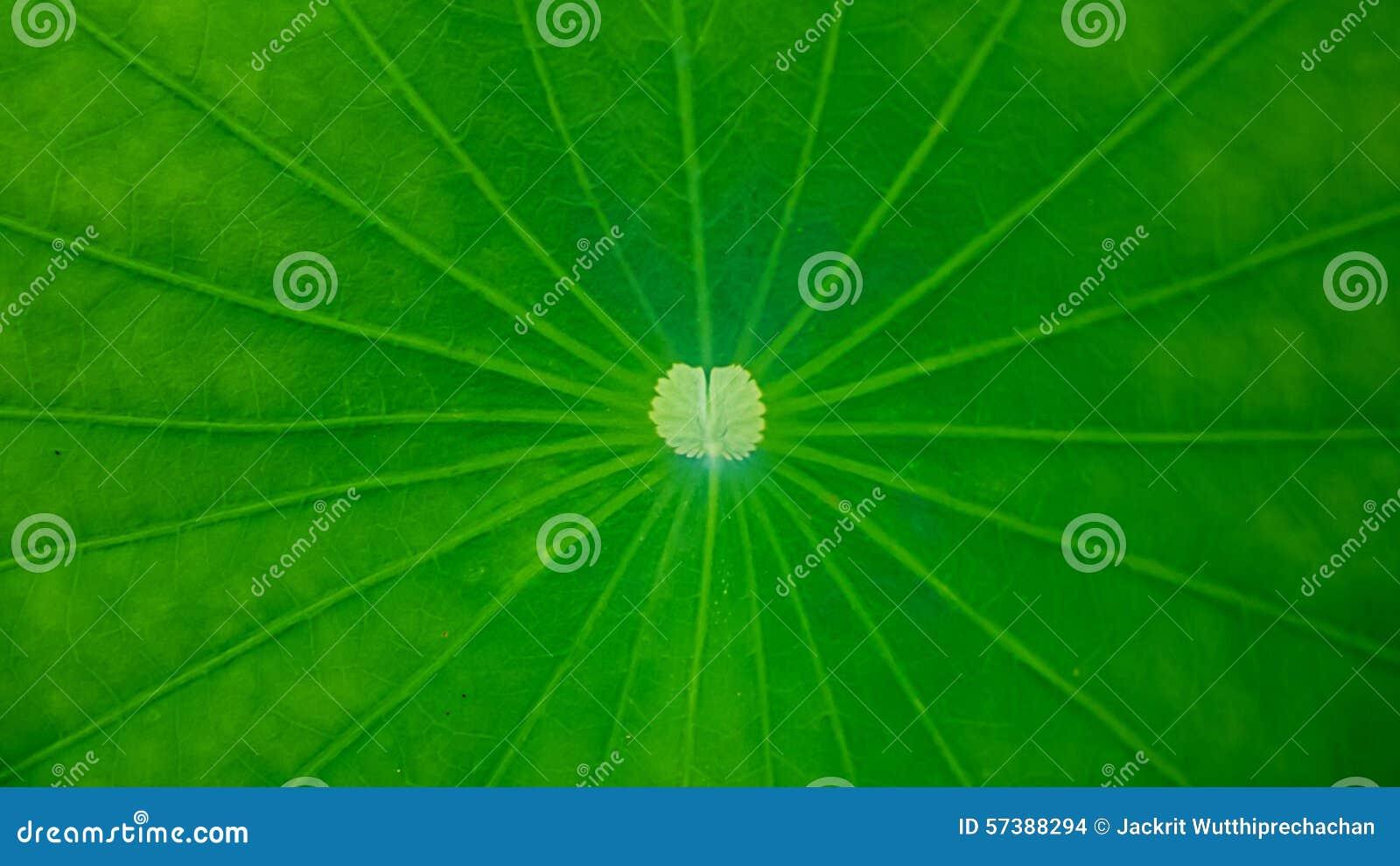 Groene Lotus Leaf Background