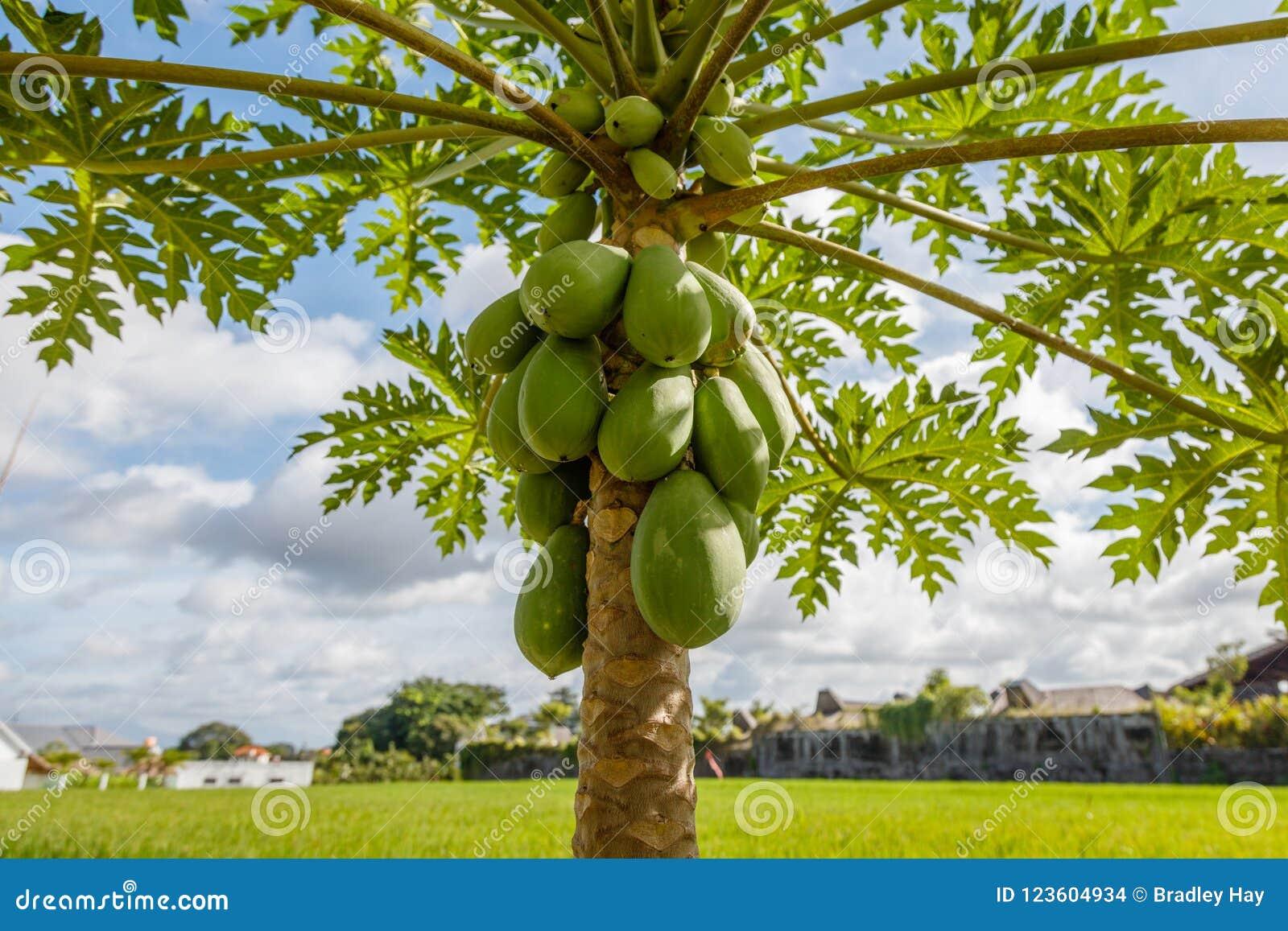 Groene mangoboom met fruit Bali, Indonesië