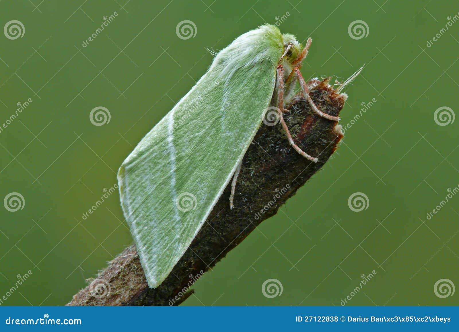 Groene Zilveren-Lijnen (prasinana Bena) Stock Foto - Afbeelding ...