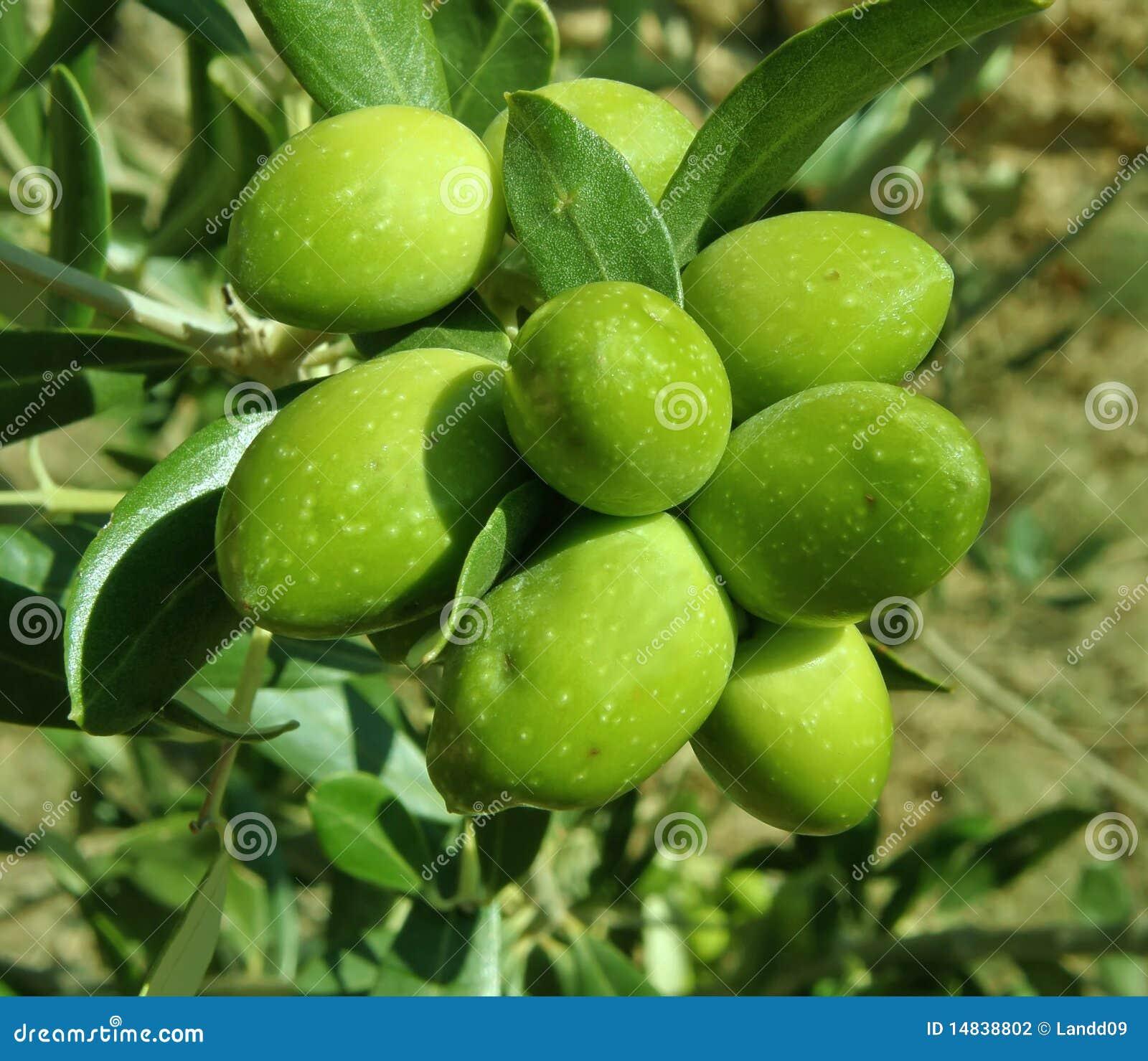 Groene olijvenboom