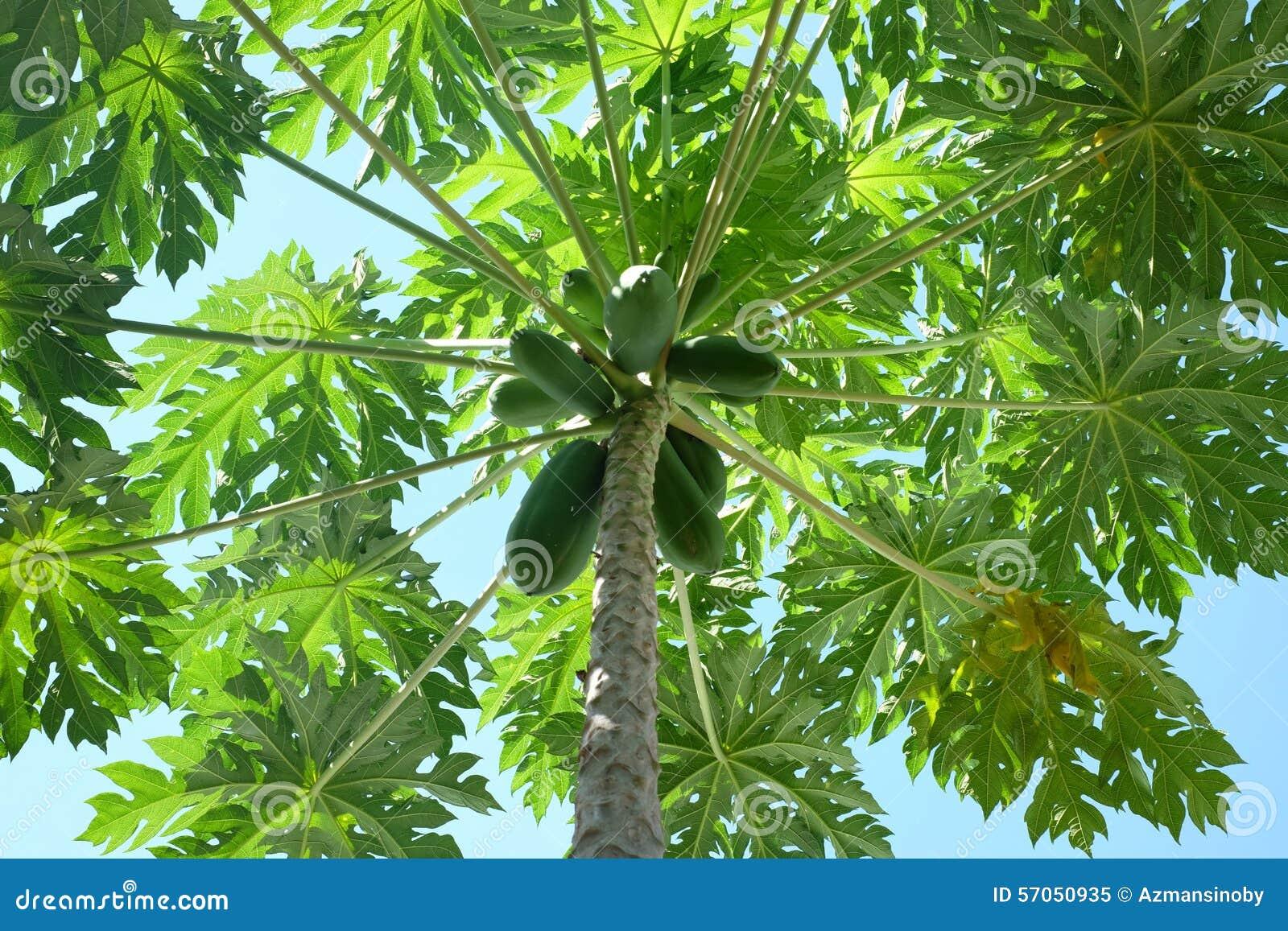 Groene Papaja
