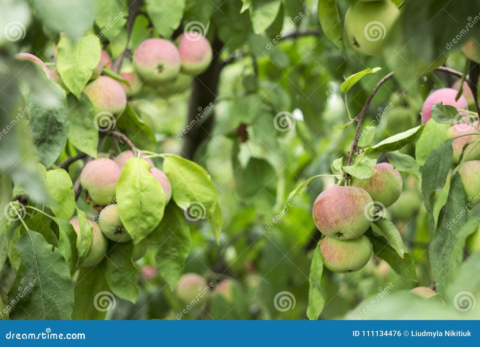 Groene rode appelen die op een tak op de boom, vele vruchten groeien