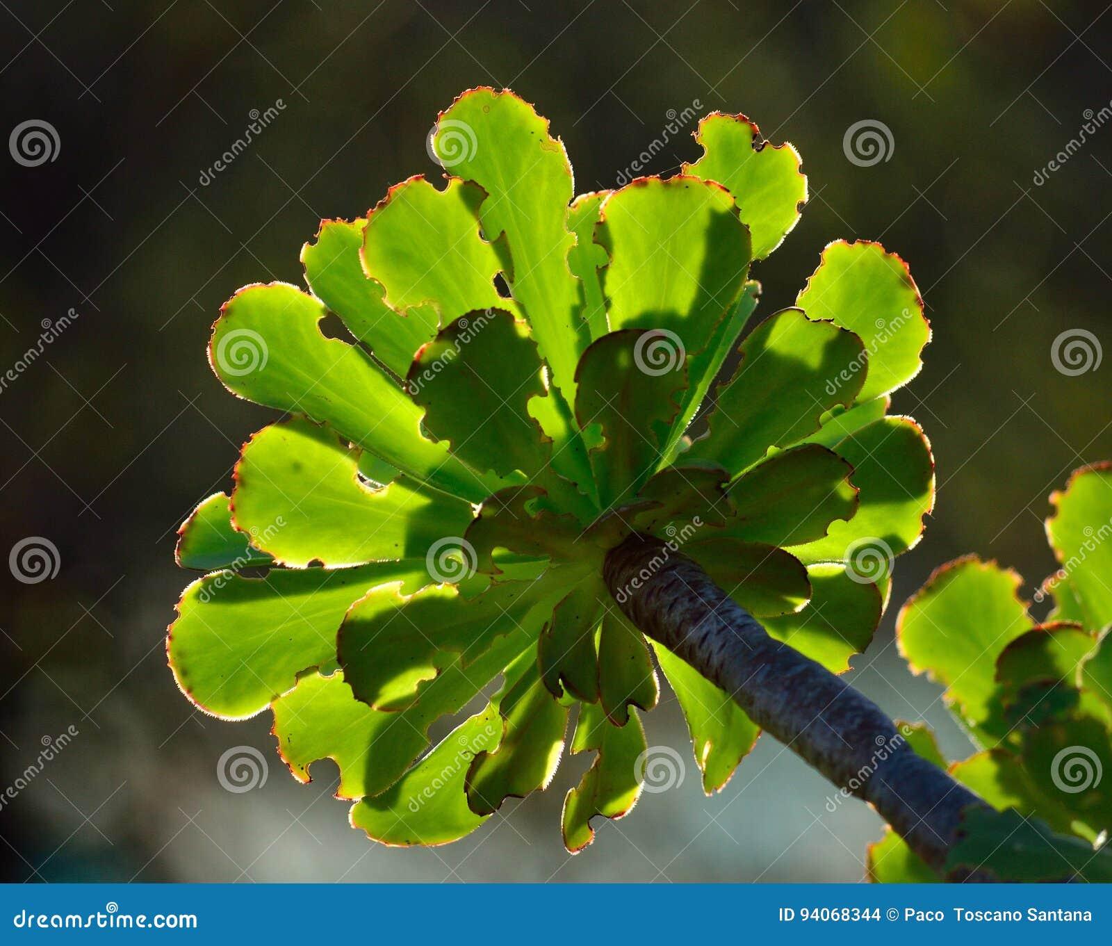 Groene rozet van aeonium