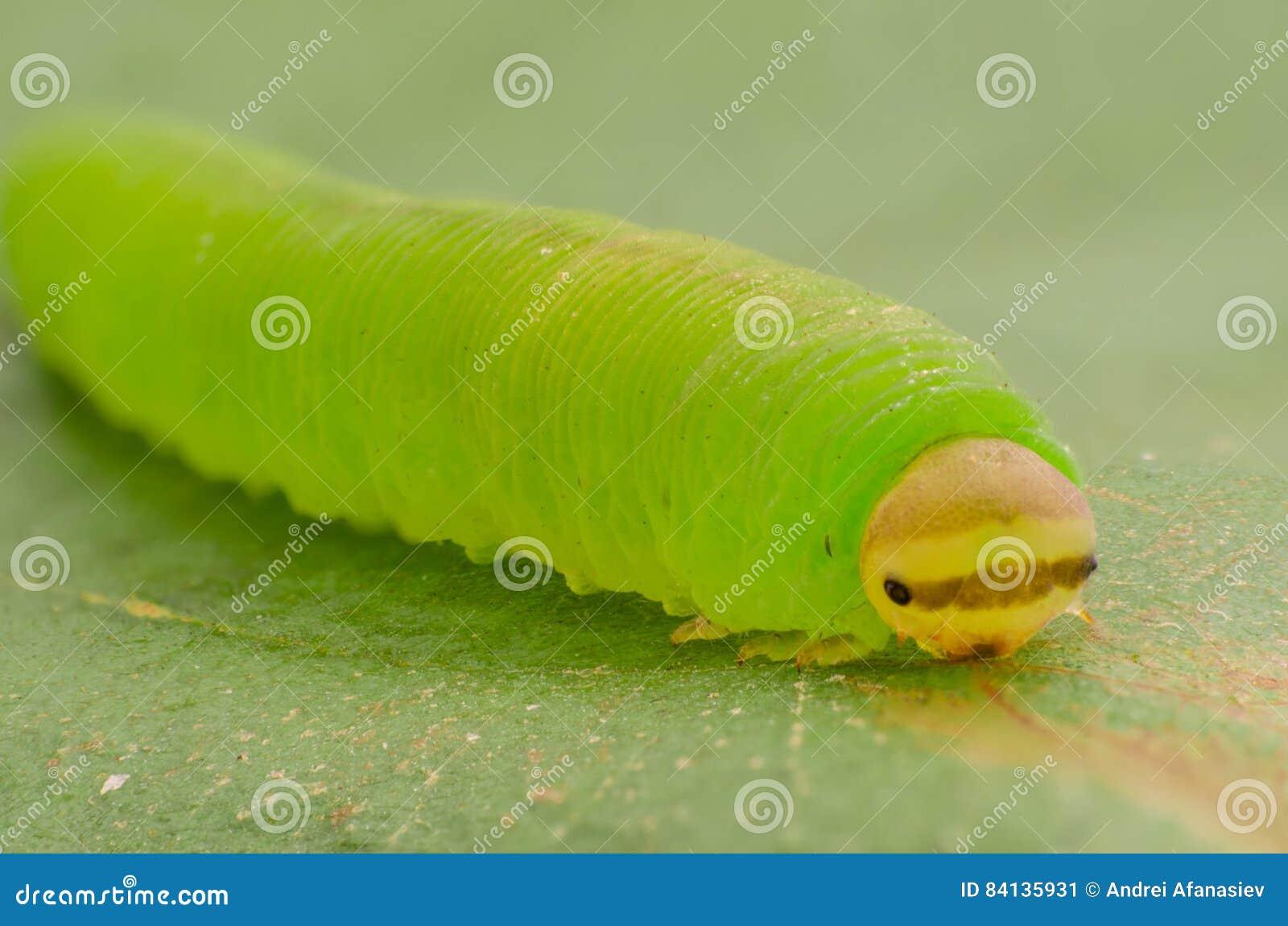 Groene rupsband in het gras