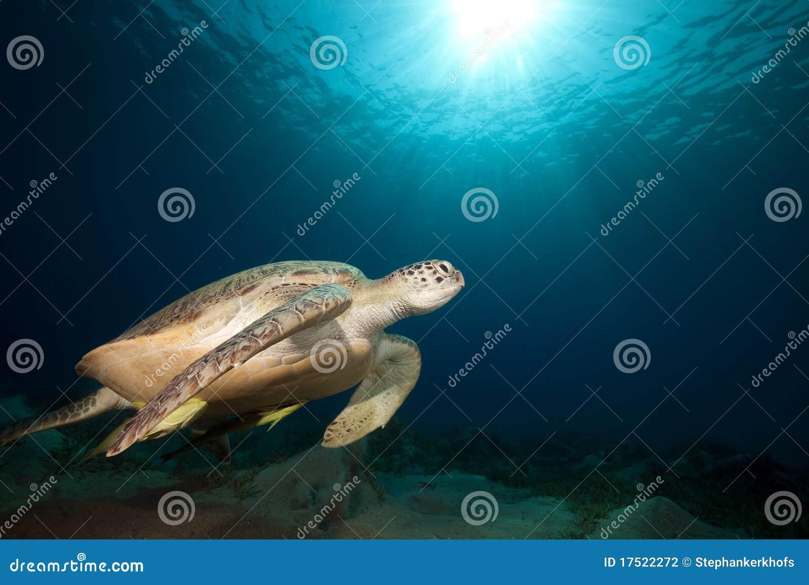 Groene schildpad en oceaan.