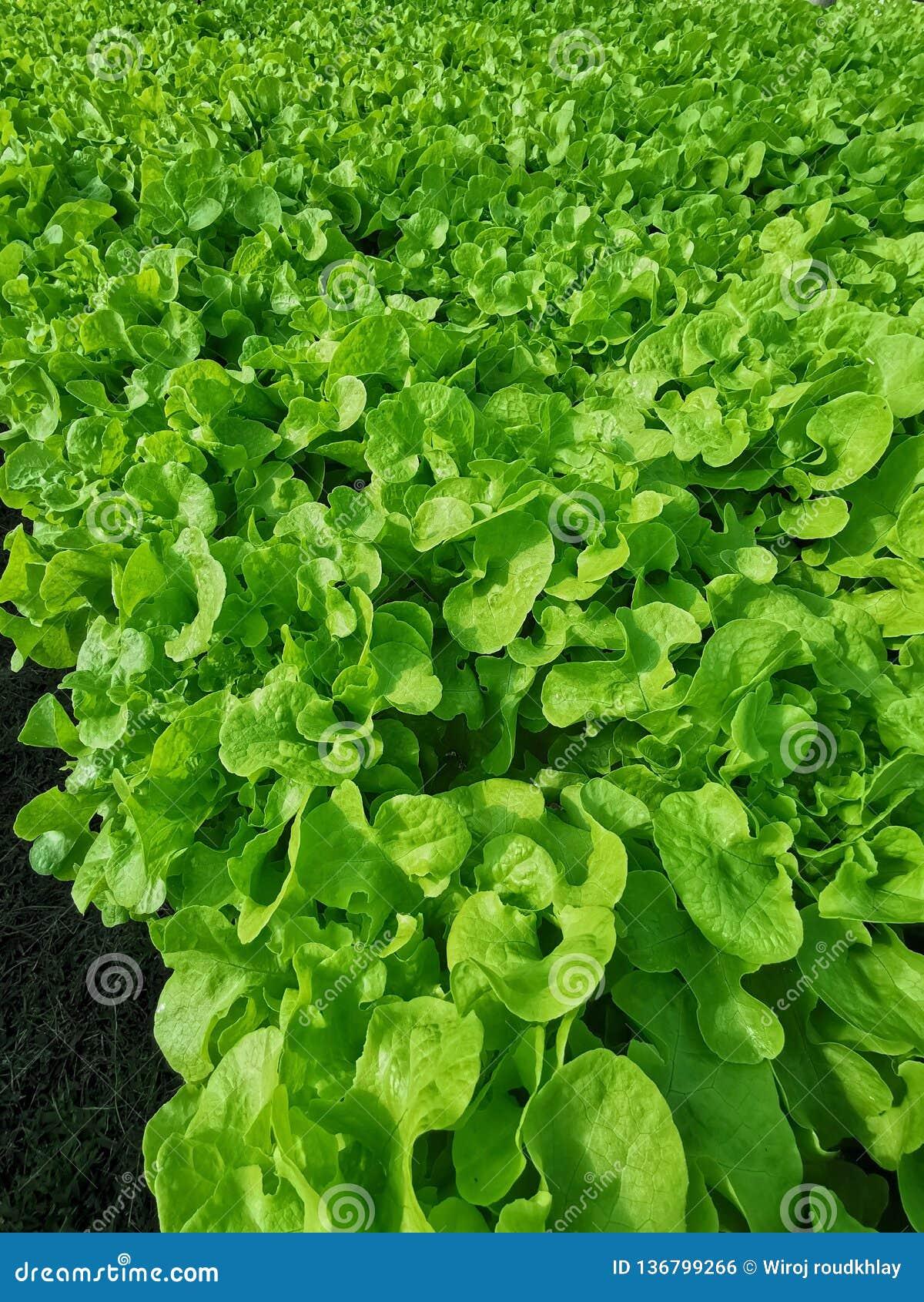 Groene sla, Rode eiken, groene eik, frilliceijsberg, cultuur hydroponic†landbouwbedrijf ‹ groene groente in de markt van de lan
