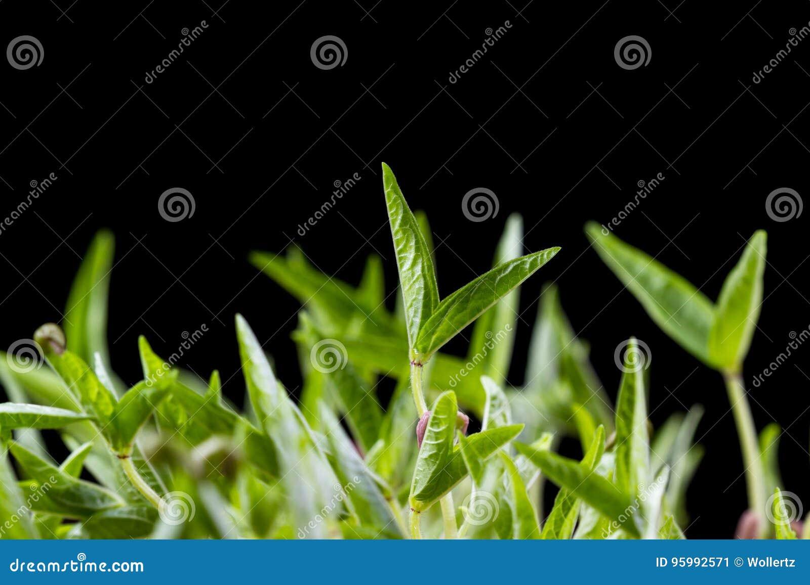 Groene sojaboonspruiten