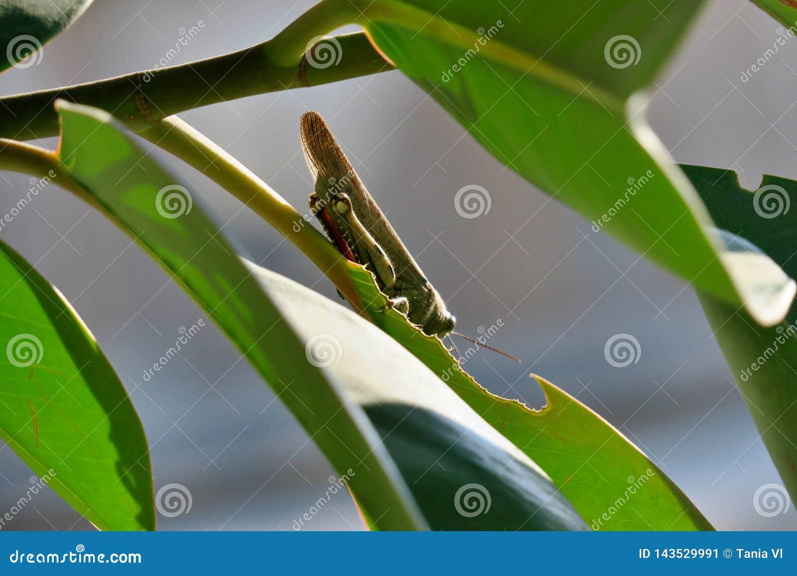 Groene sprinkhaan die op boom blad eten