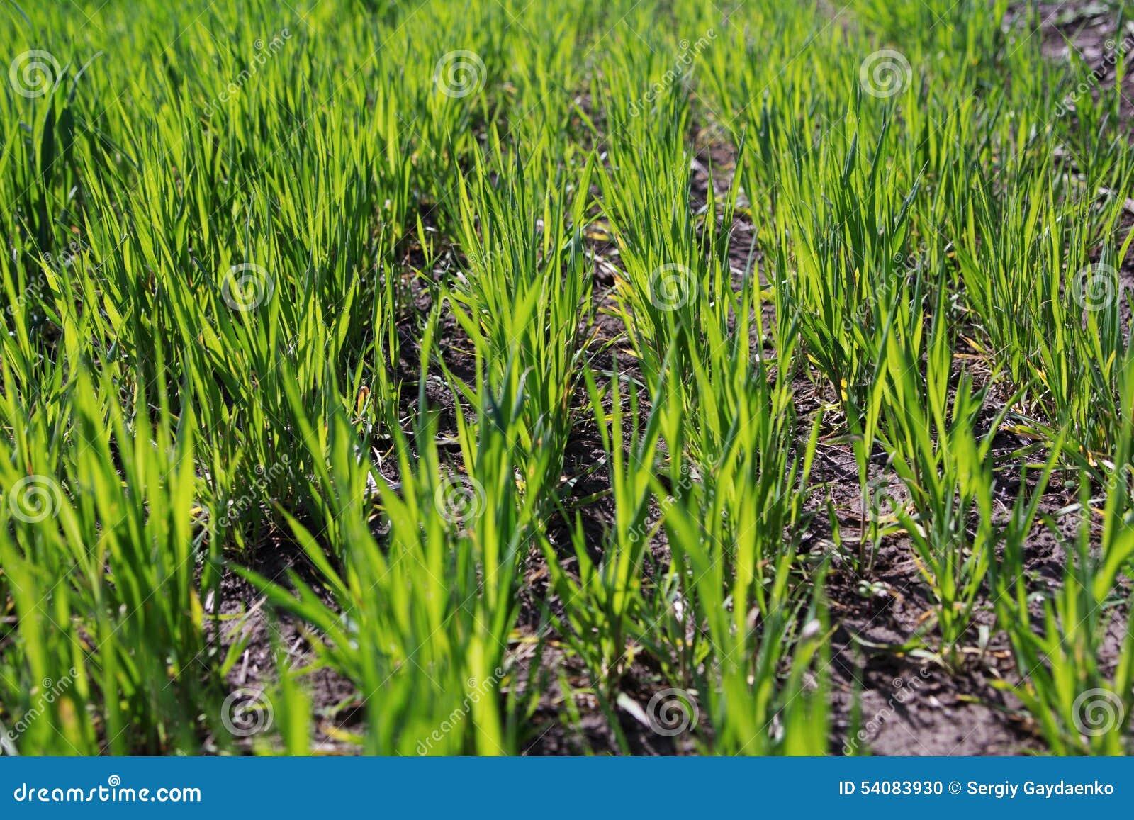 Groene spruiten van tarwe op het gebied
