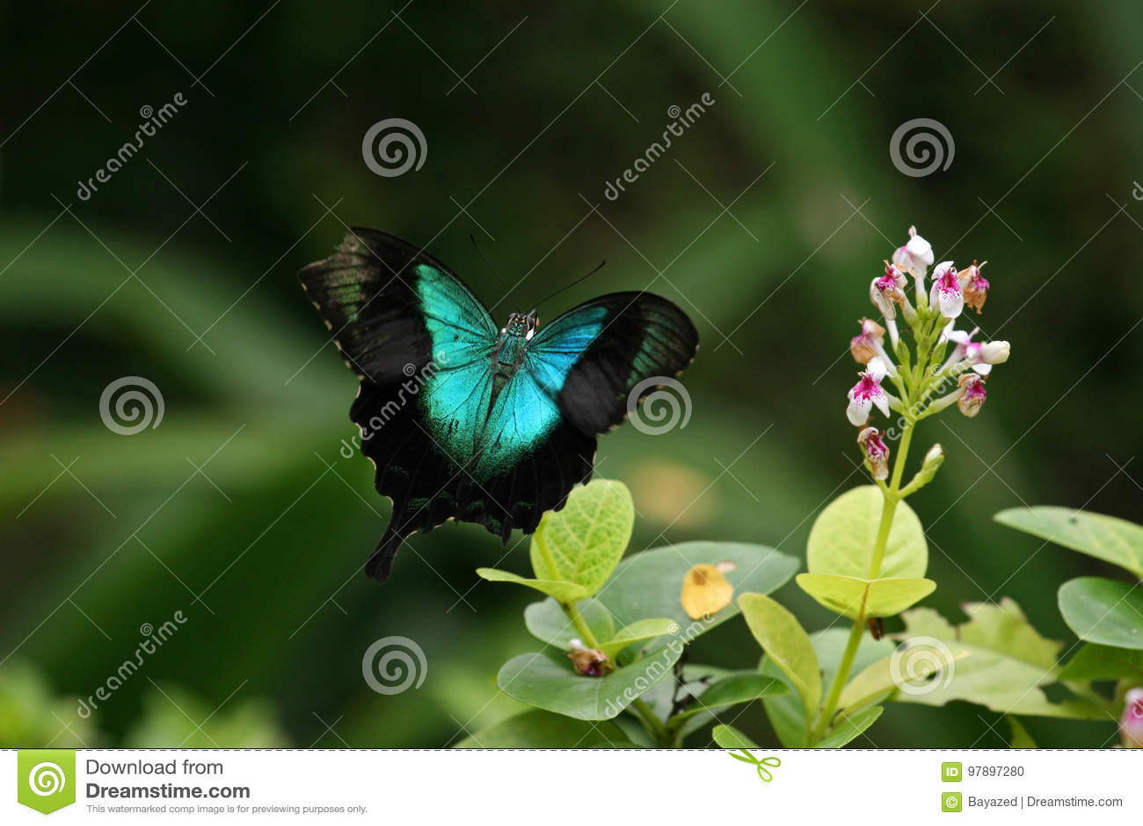 Groene Swallowtail, Sentosa