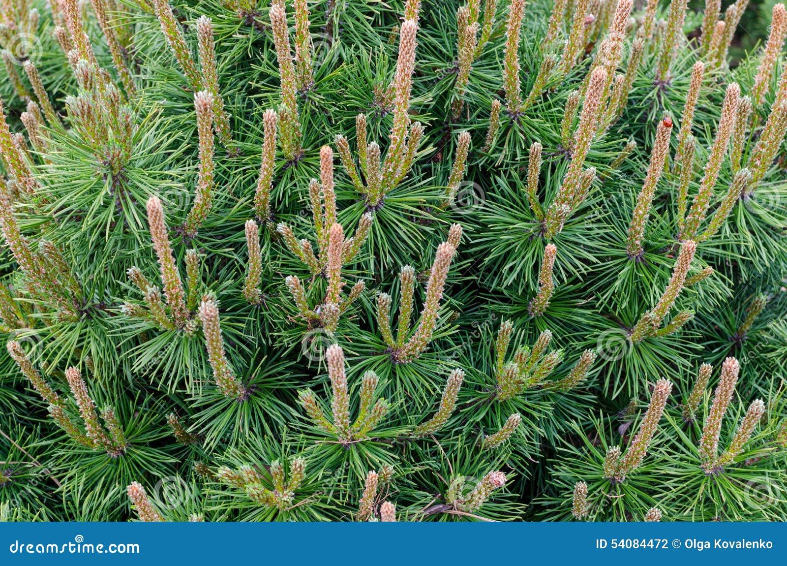Groene tak van de pijnboomboom