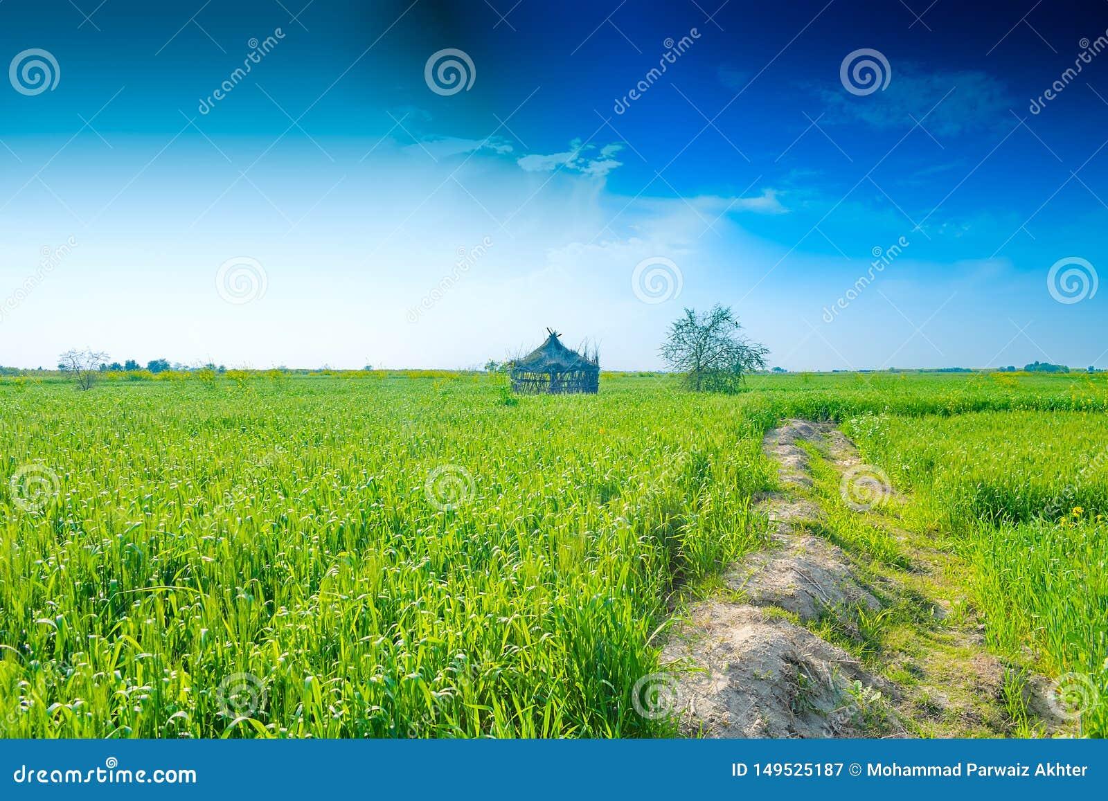 Groene tarweoren in een landbouwbedrijf