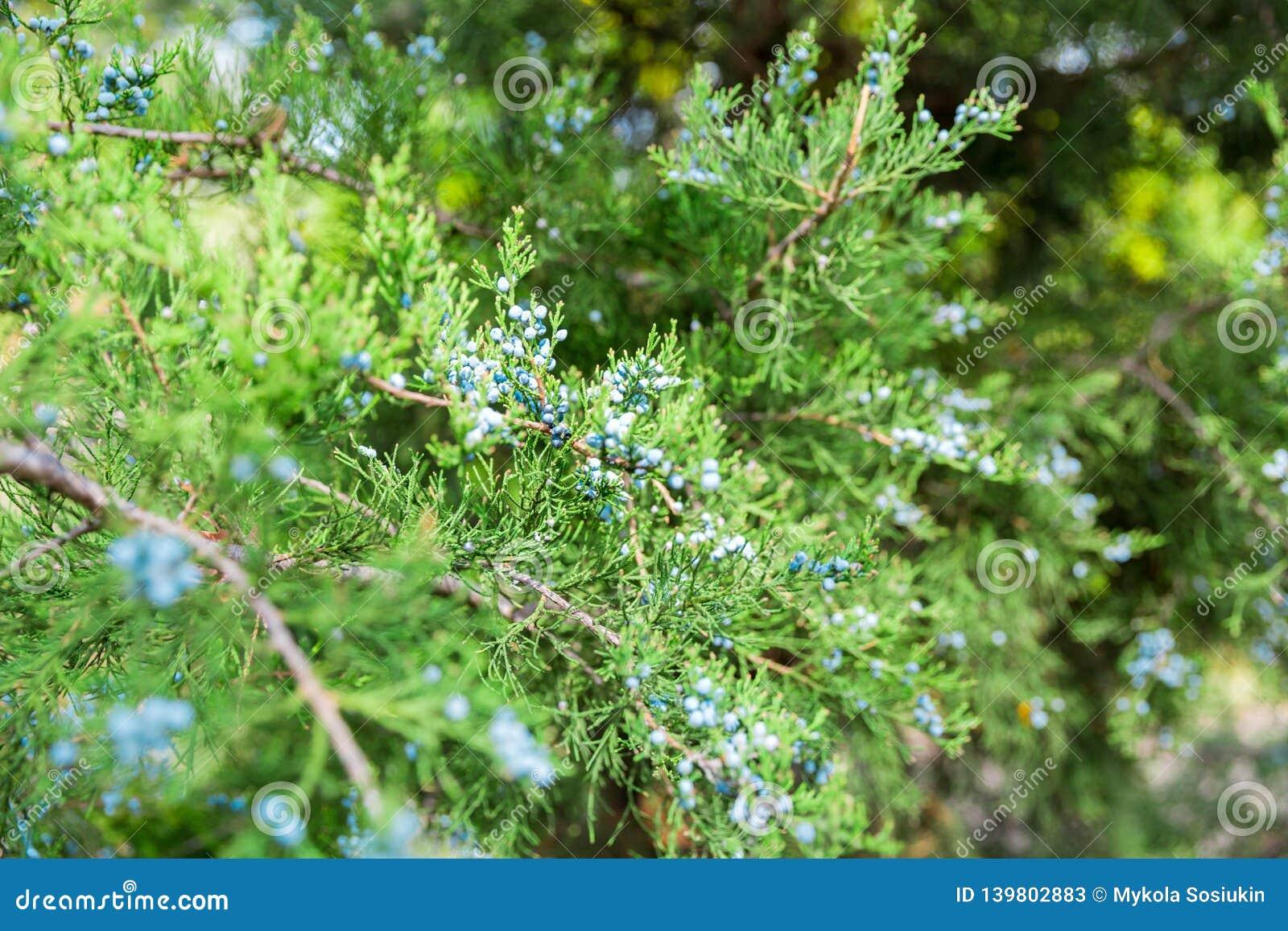 Groene thuja of jeneverbessen de bessen van WIS van boomtakken dichte omhooggaand als achtergrond