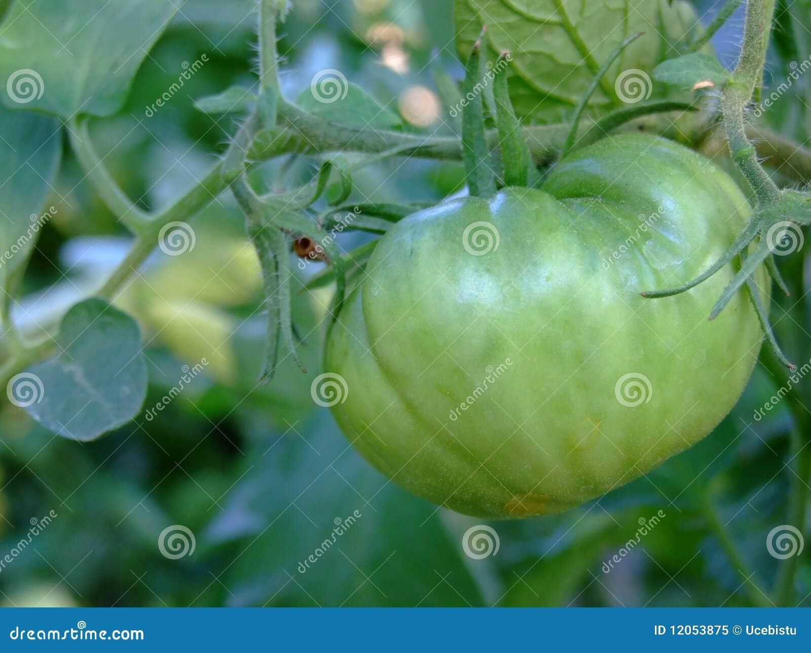 Groene tomaat in het landbouwbedrijf nog in bijlage aan wijnstok