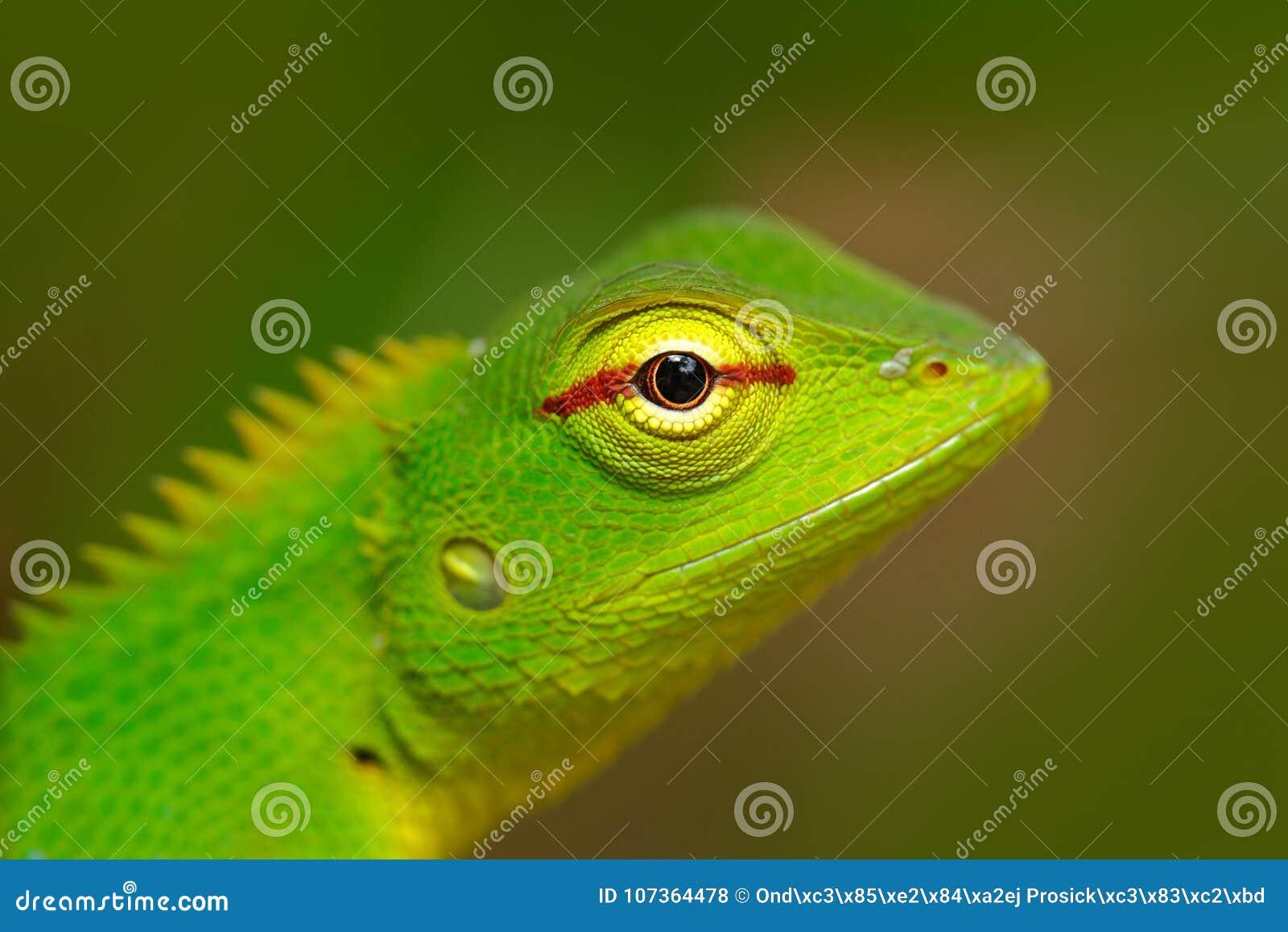 Groene Tuinhagedis, Calotes calotes, het portret van het detailoog van exotisch tropisch dier in de groene aardhabitat, Sinharaja